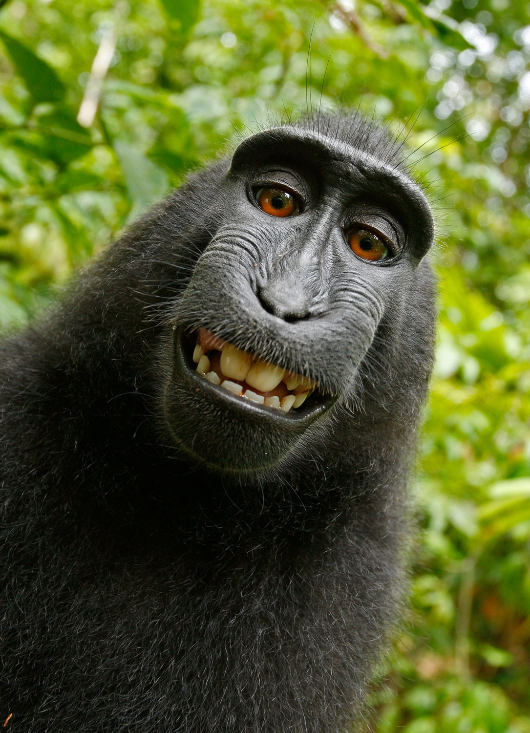 selfie-monkey-self-portrait-macaca-nigra-50582.jpeg (1085×1500)