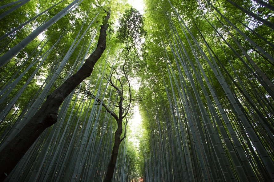 bamboo, big, forest