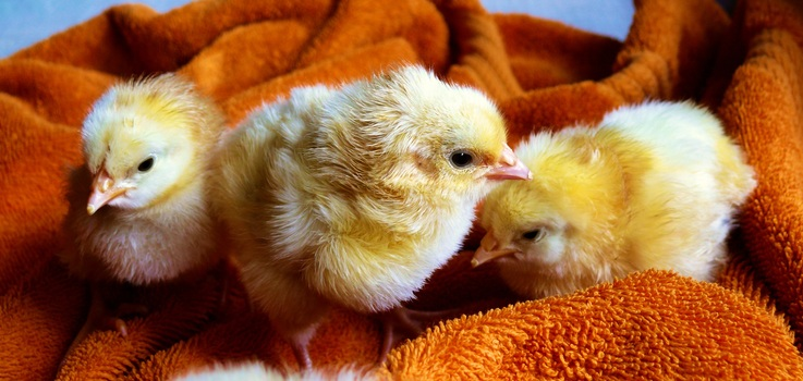Free stock photo of cute, animals, easter, chicken