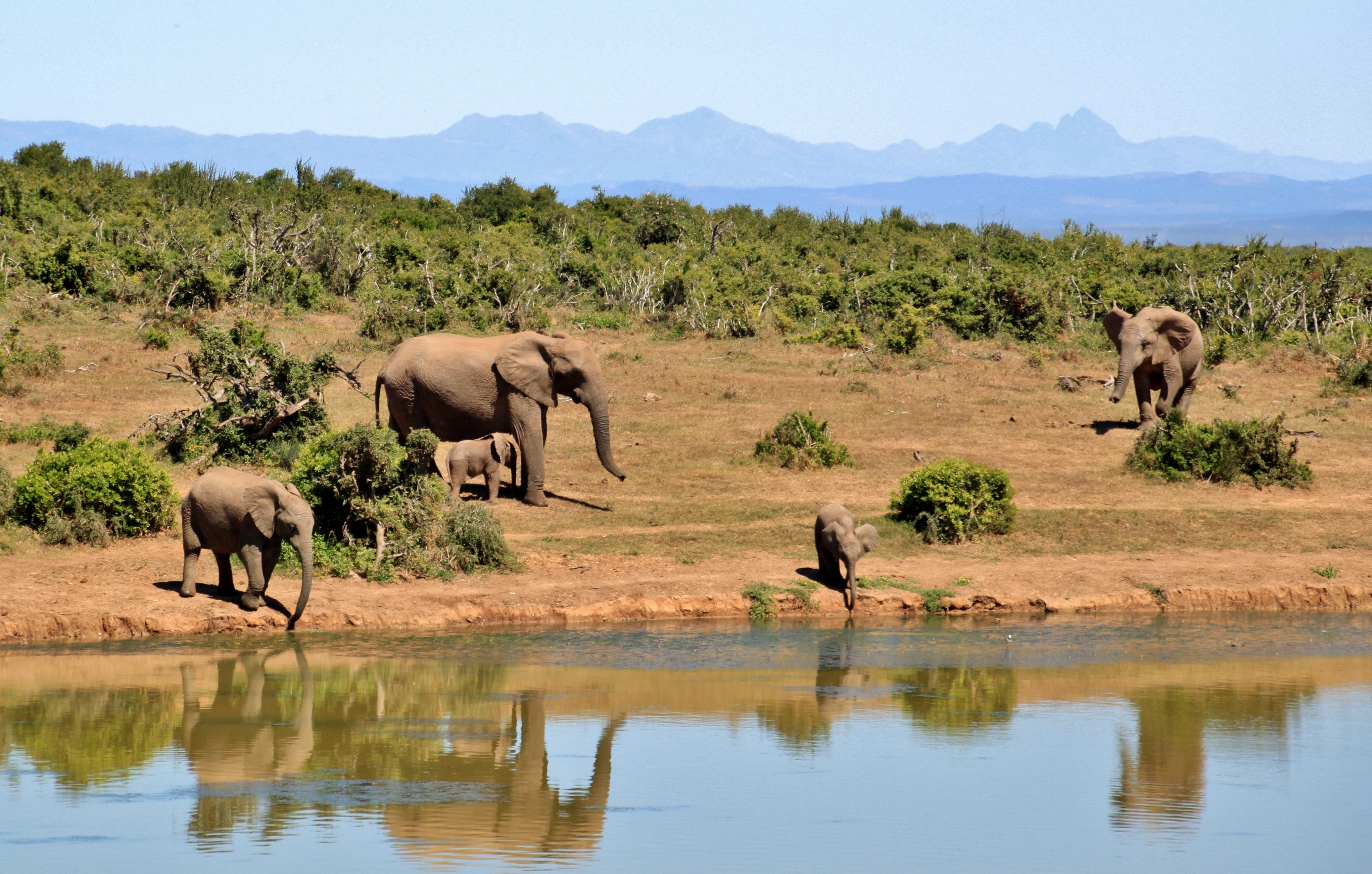 gray elephants near body of water during daytime free stock photo