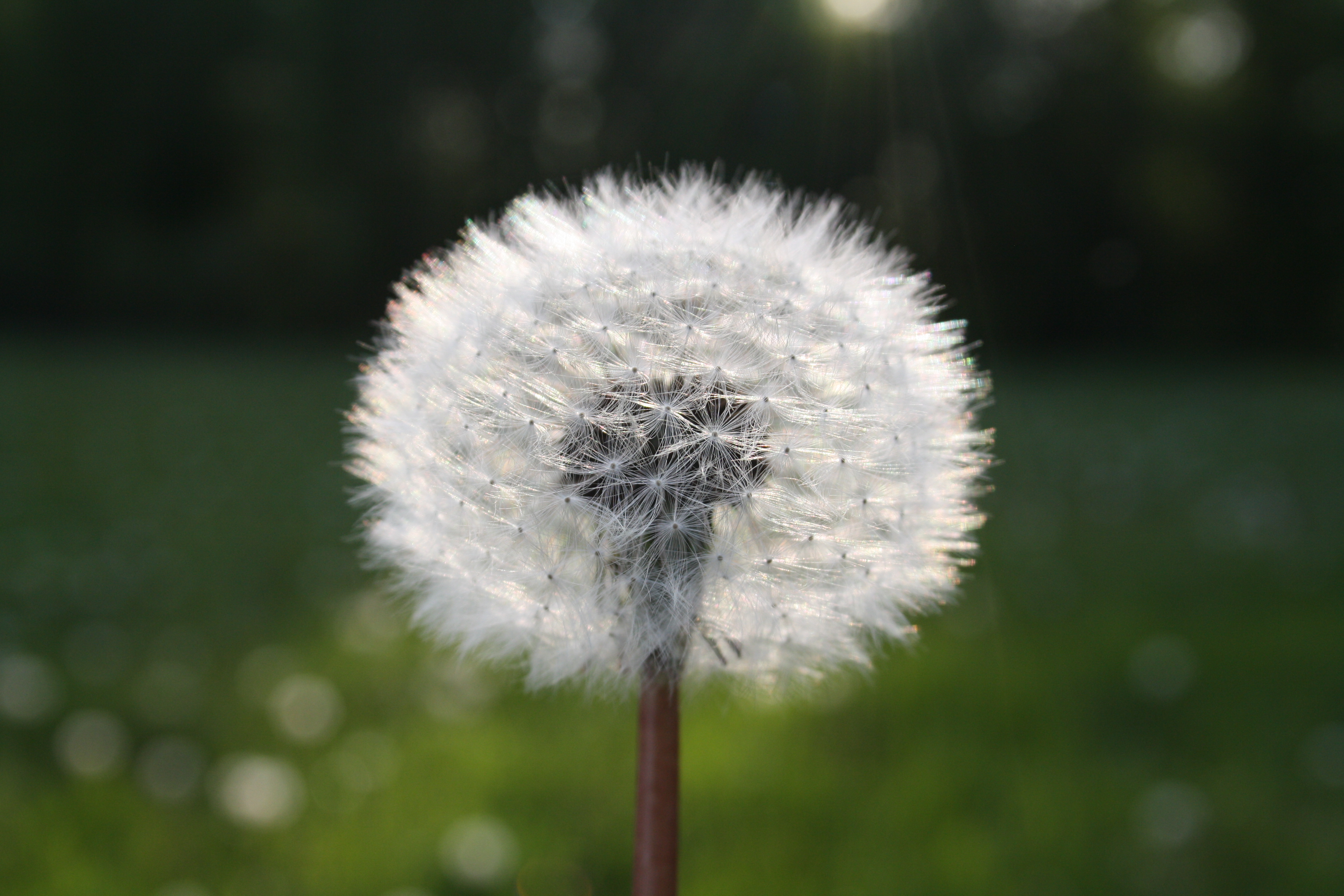 white dandelion flower in close up photograph free stock