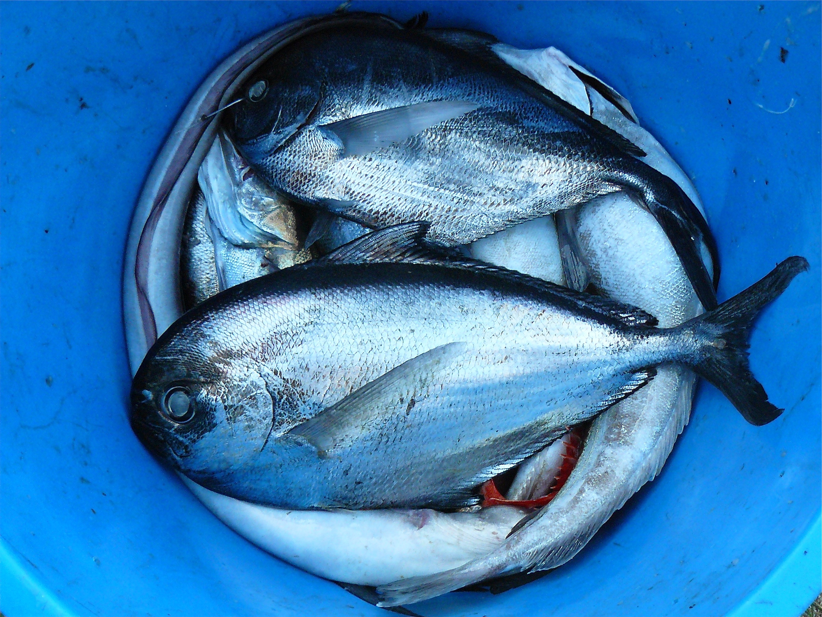 silver and black fishes inside blue plastic container free stock