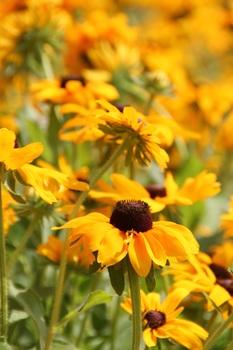 Yellow Petaled Sunflower