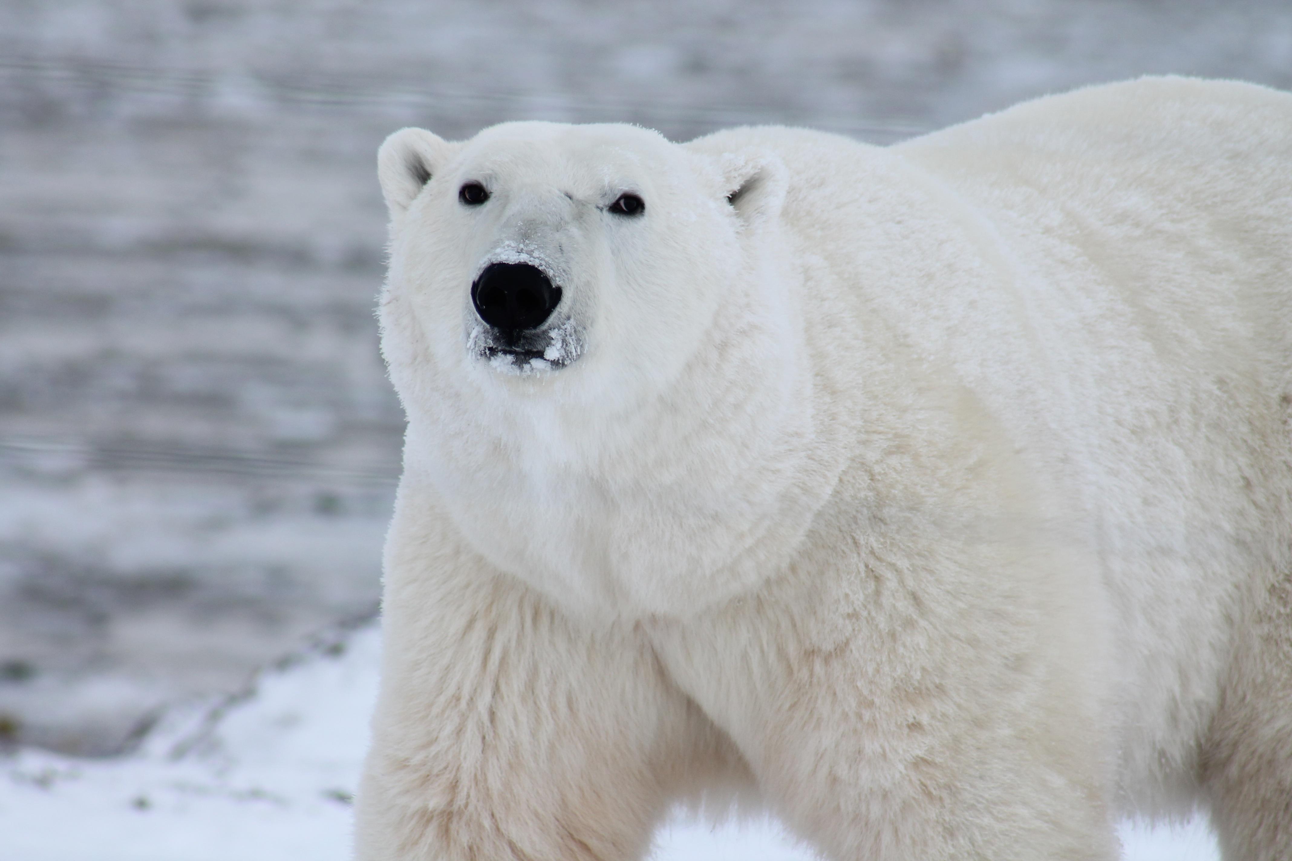 free stock photos of polar bear pexels