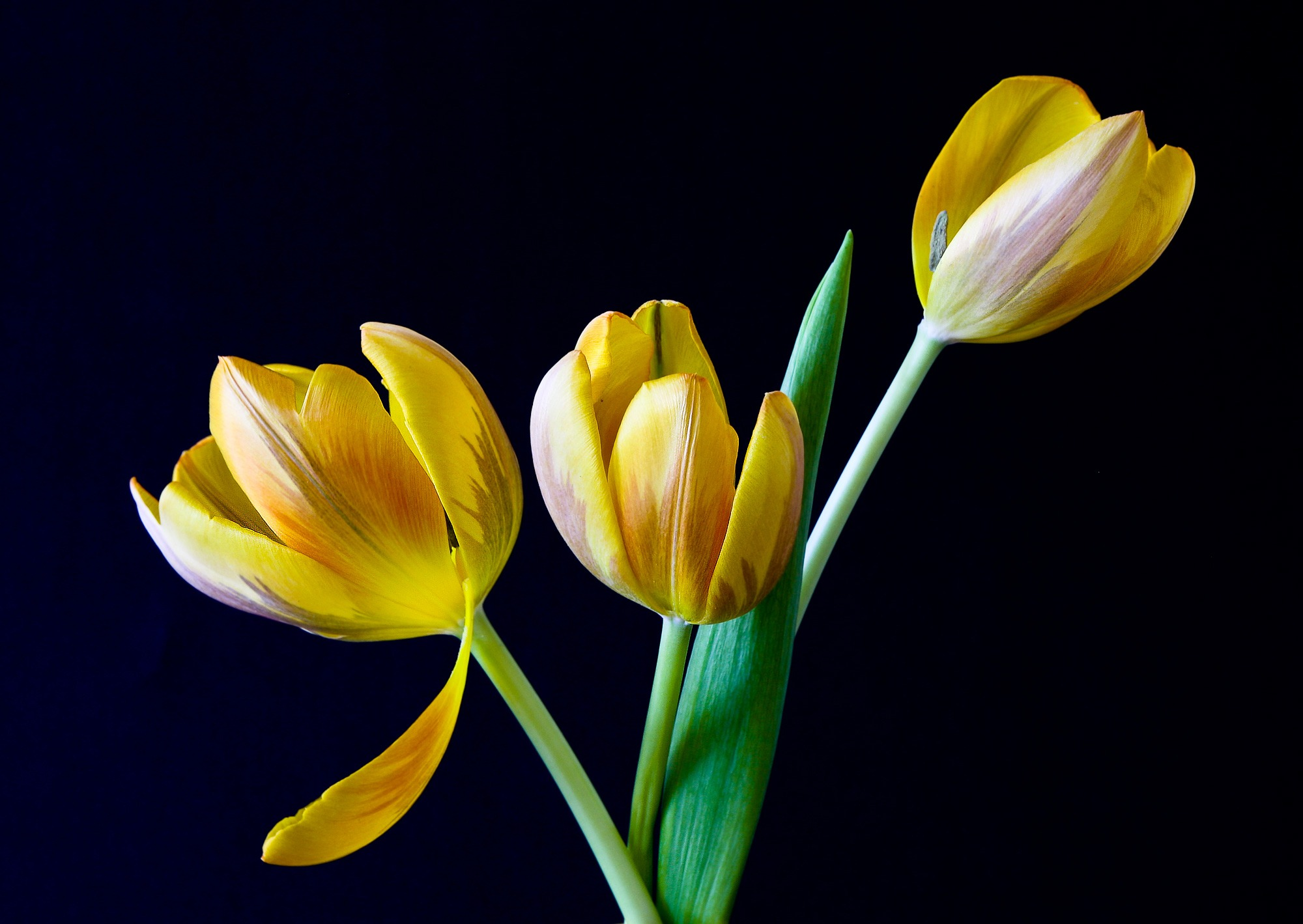 tulip flower Tulip definition, any of various plants belonging to the genus tulipa, of the lily family, cultivated in many varieties, and having lance-shaped leaves and large, showy, usually erect, cup-shaped or bell-shaped flowers in a variety of colors.