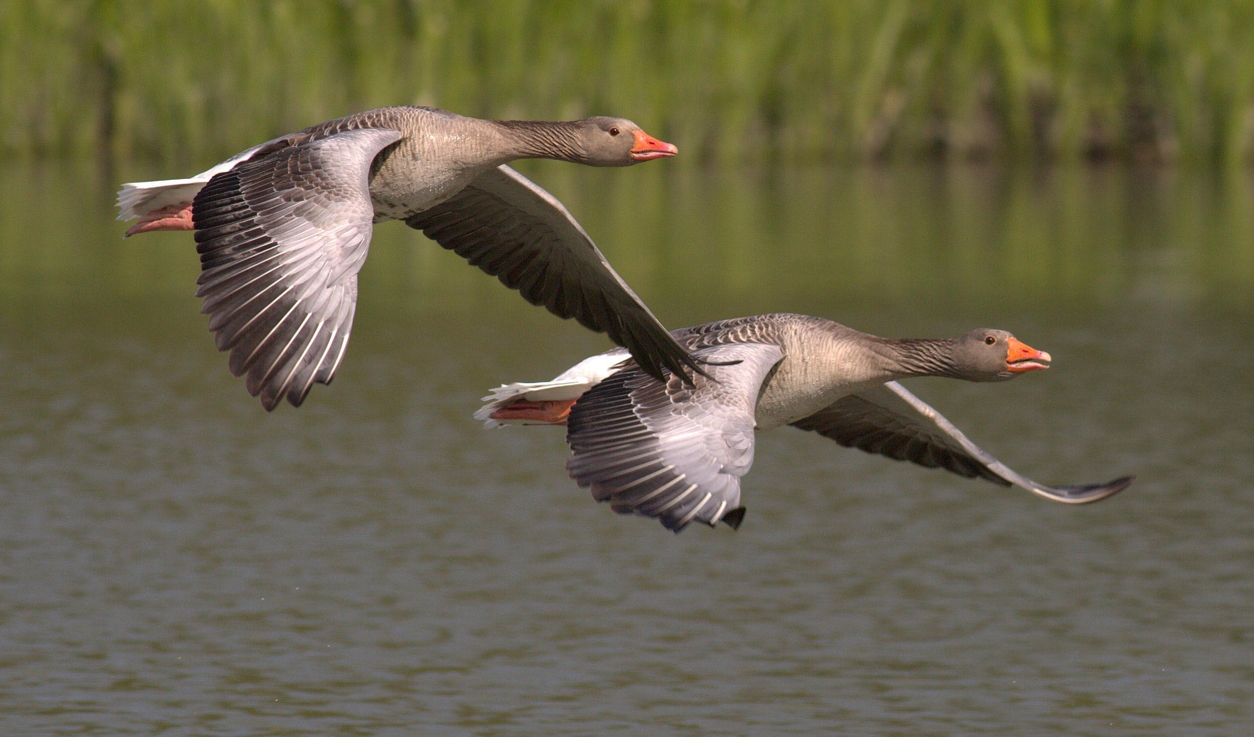 two birds in flight free stock photo
