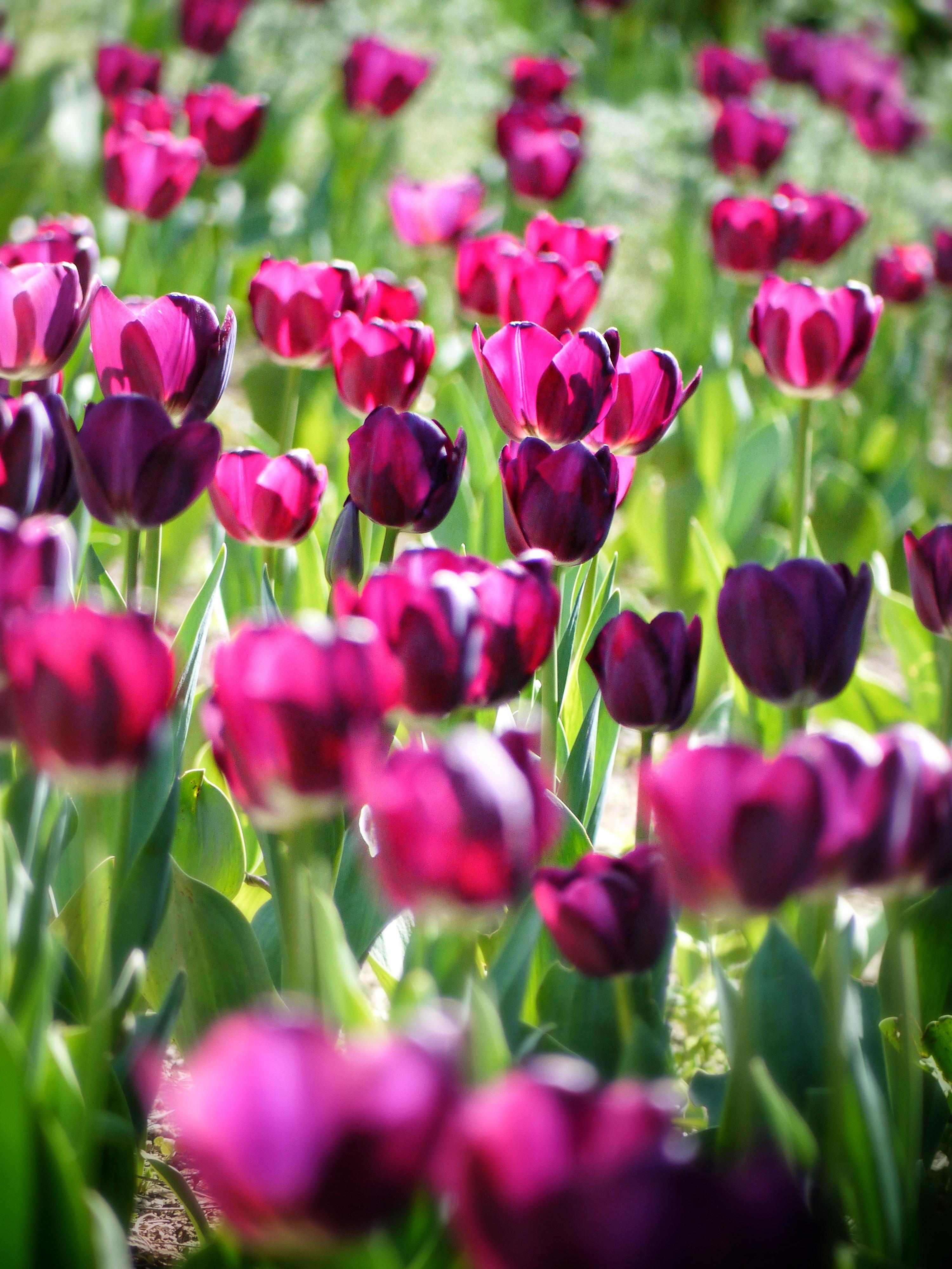 Pink Tulips Free Stock Photo