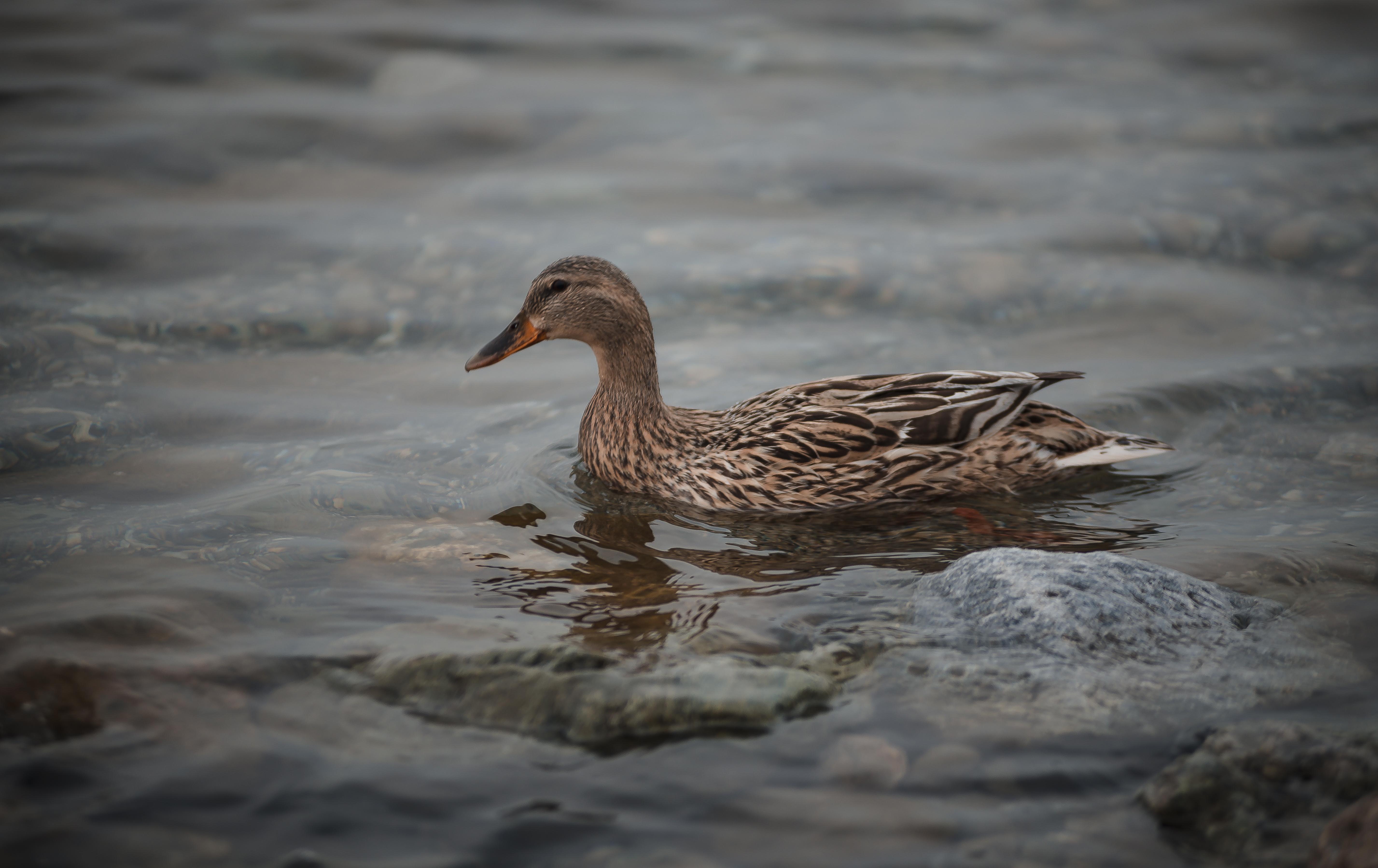 free stock photos of wild duck pexels