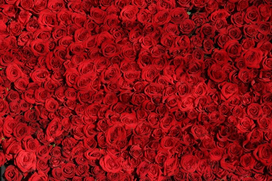 2018 Photos rose-roses-flowers-r