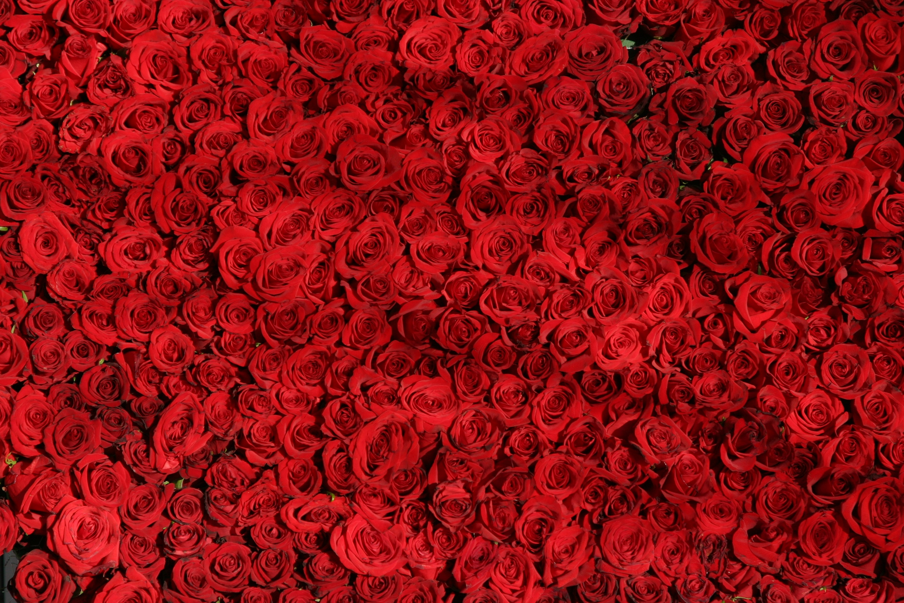 rose-roses-flowers-red-54320.jpeg (3072×2048)