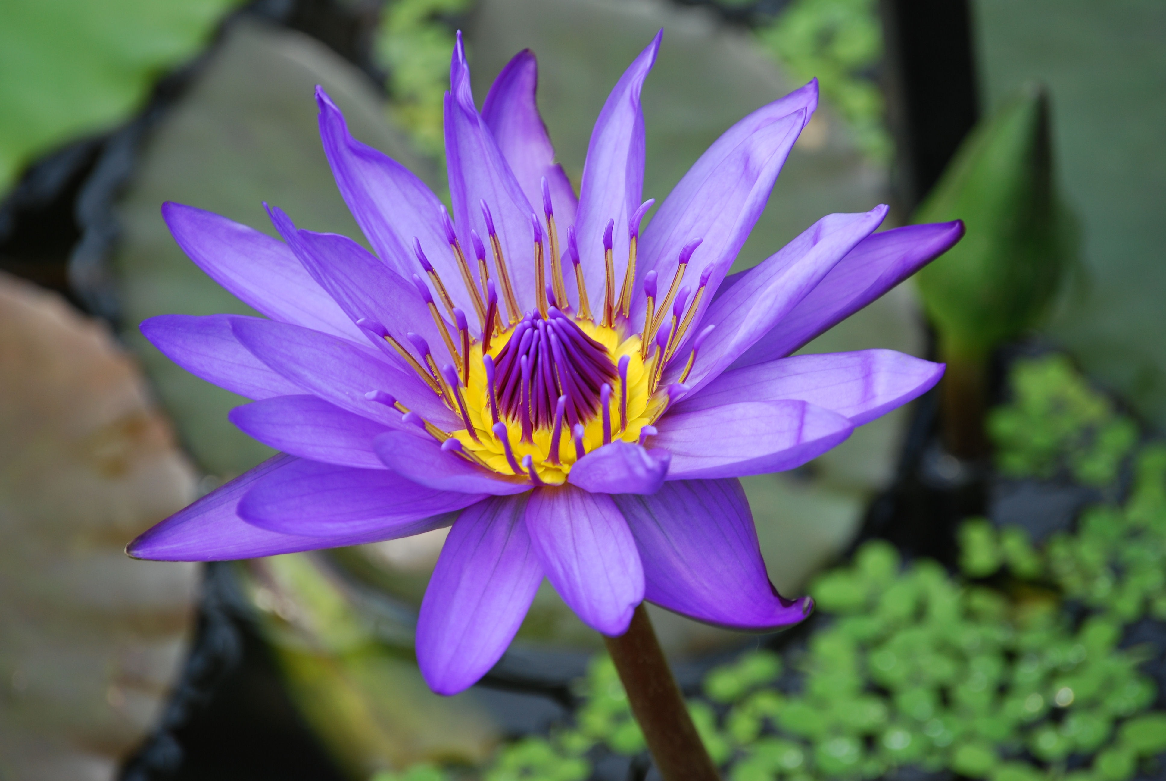 purple and yellow lotus flower free stock photo. Black Bedroom Furniture Sets. Home Design Ideas