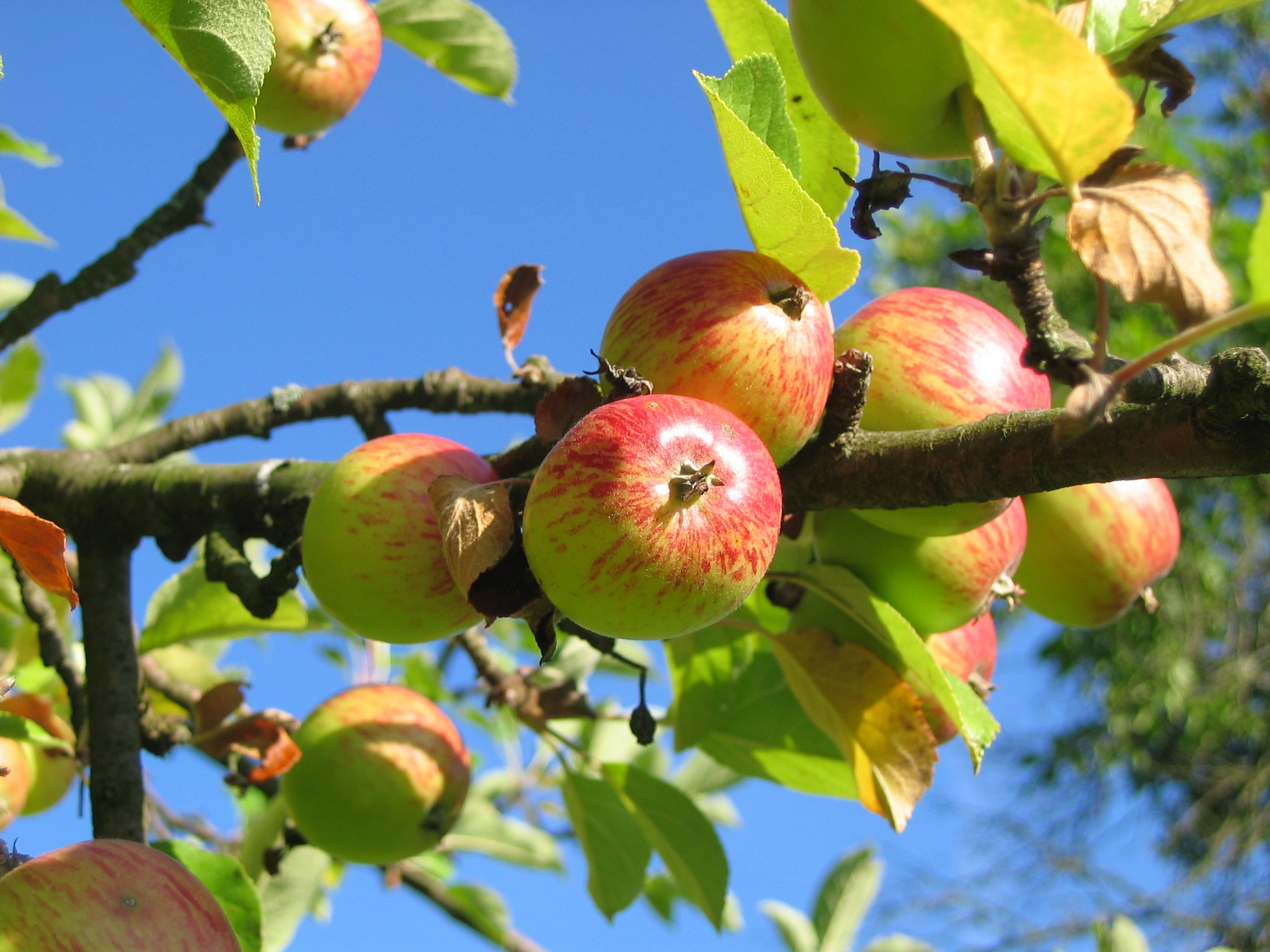 free stock photos of fruit tree pexels