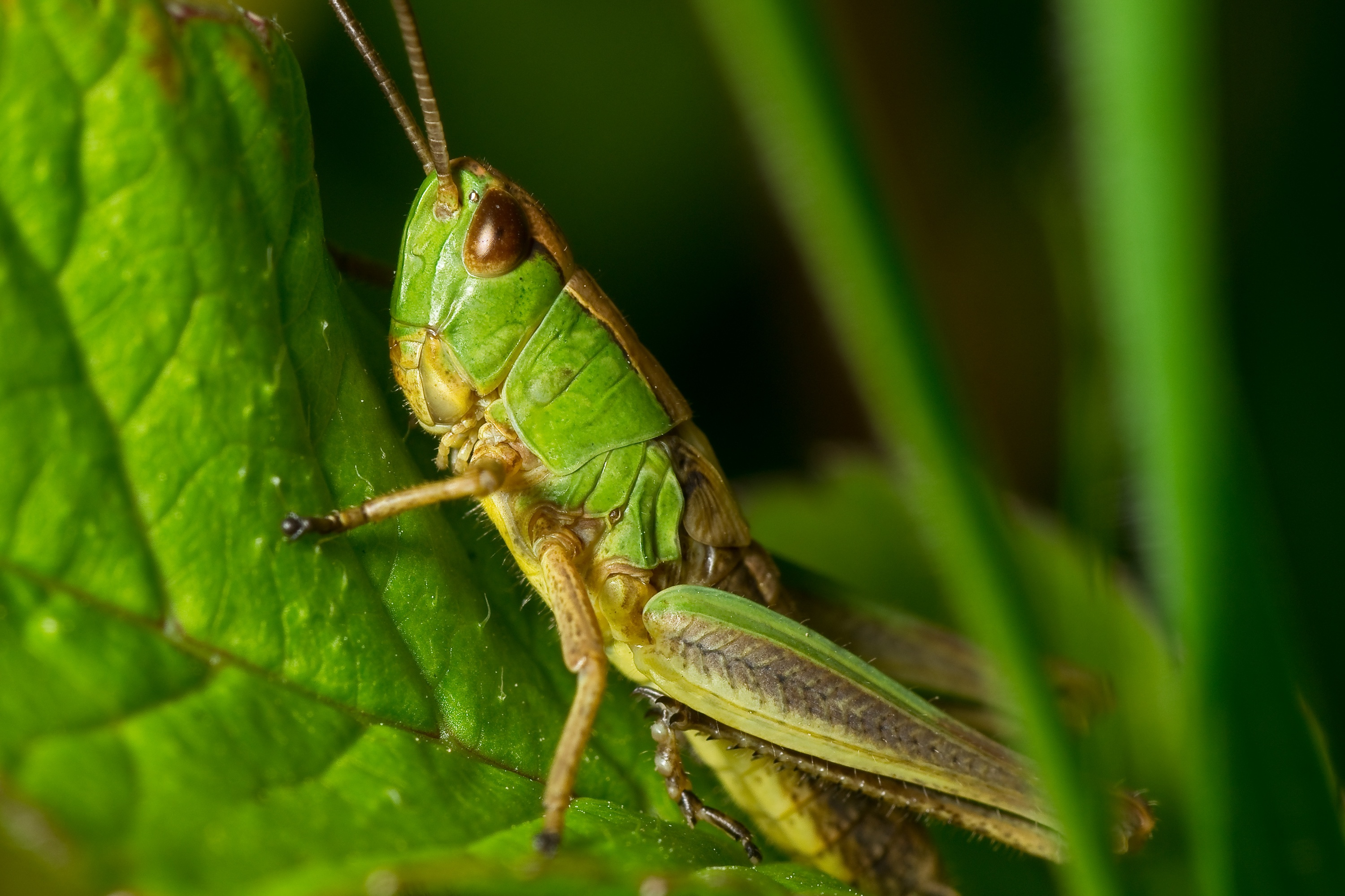Grasshopper Green and Yellow · Free Stock Photo