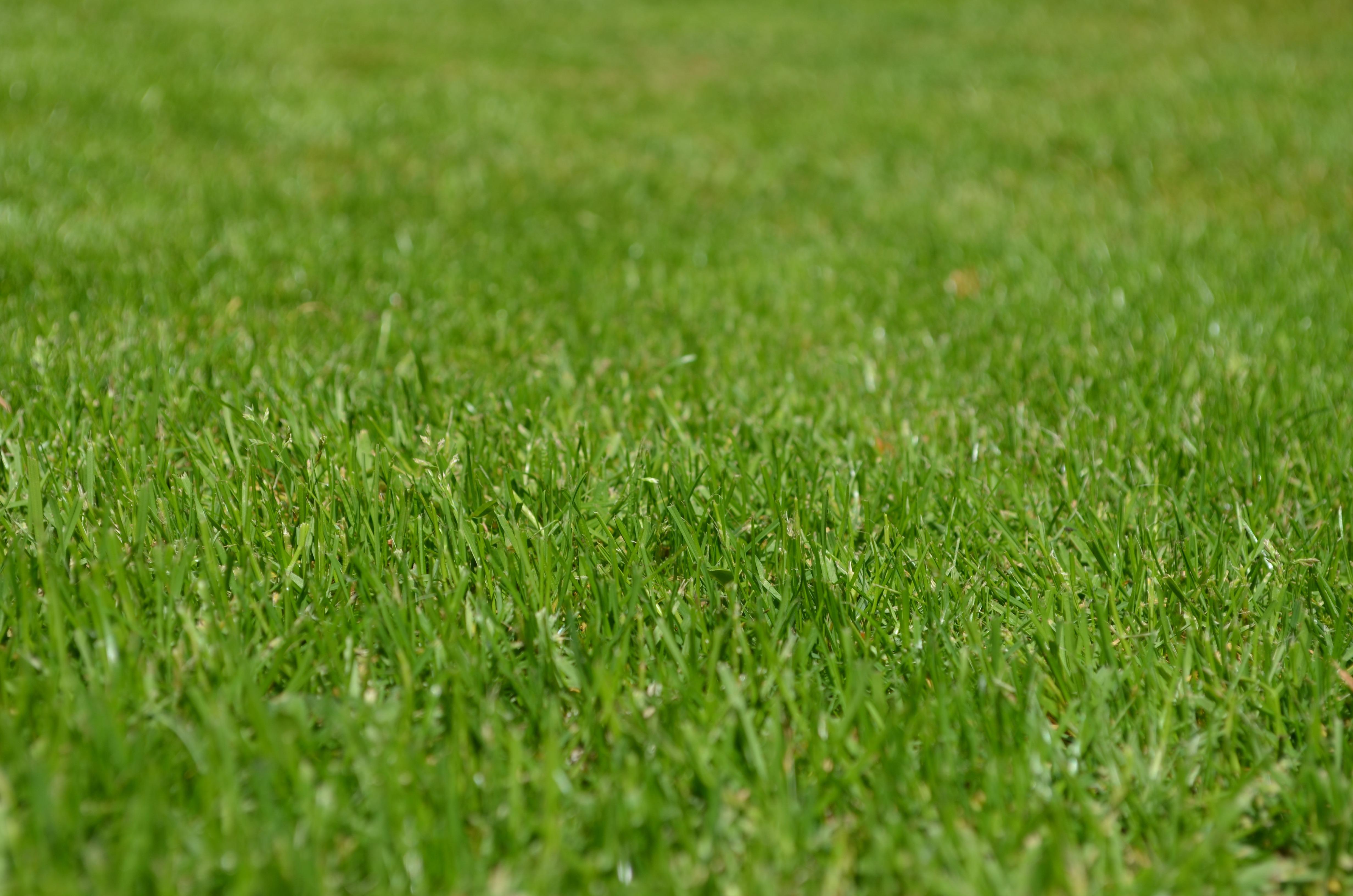 Green grass free stock photo for Festuca prato