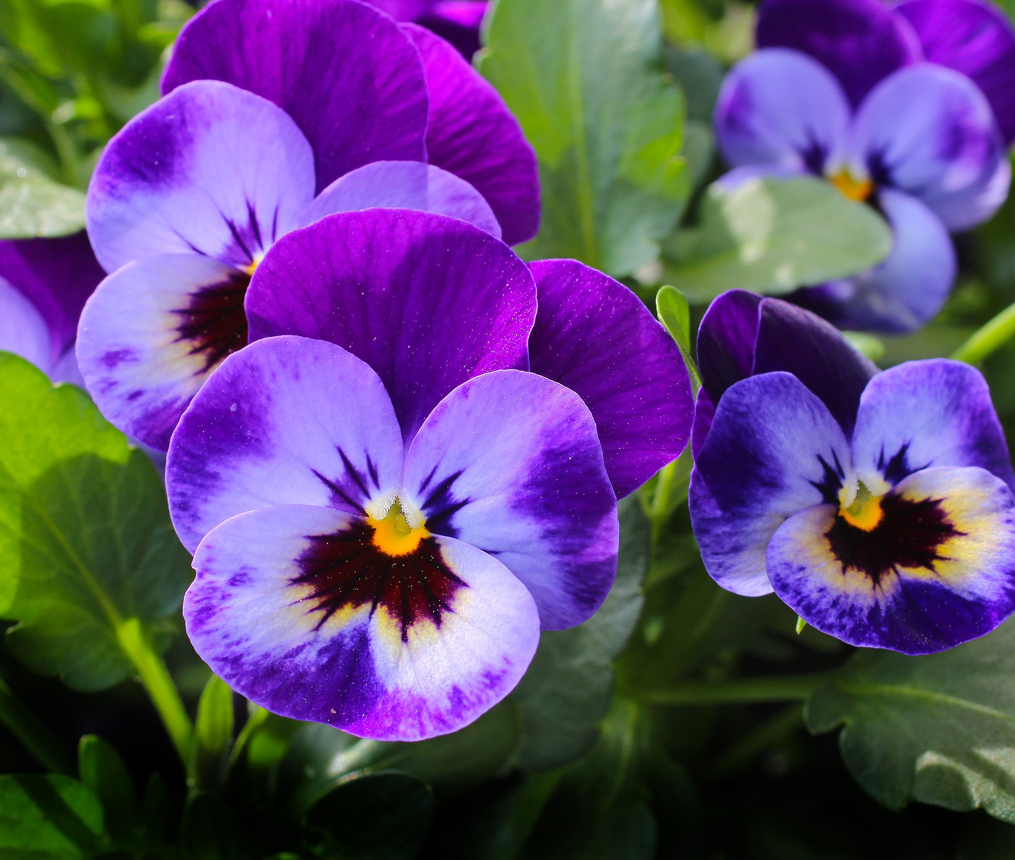 pansy-flowers-plant-nature-57394.jpeg (2000×1694)