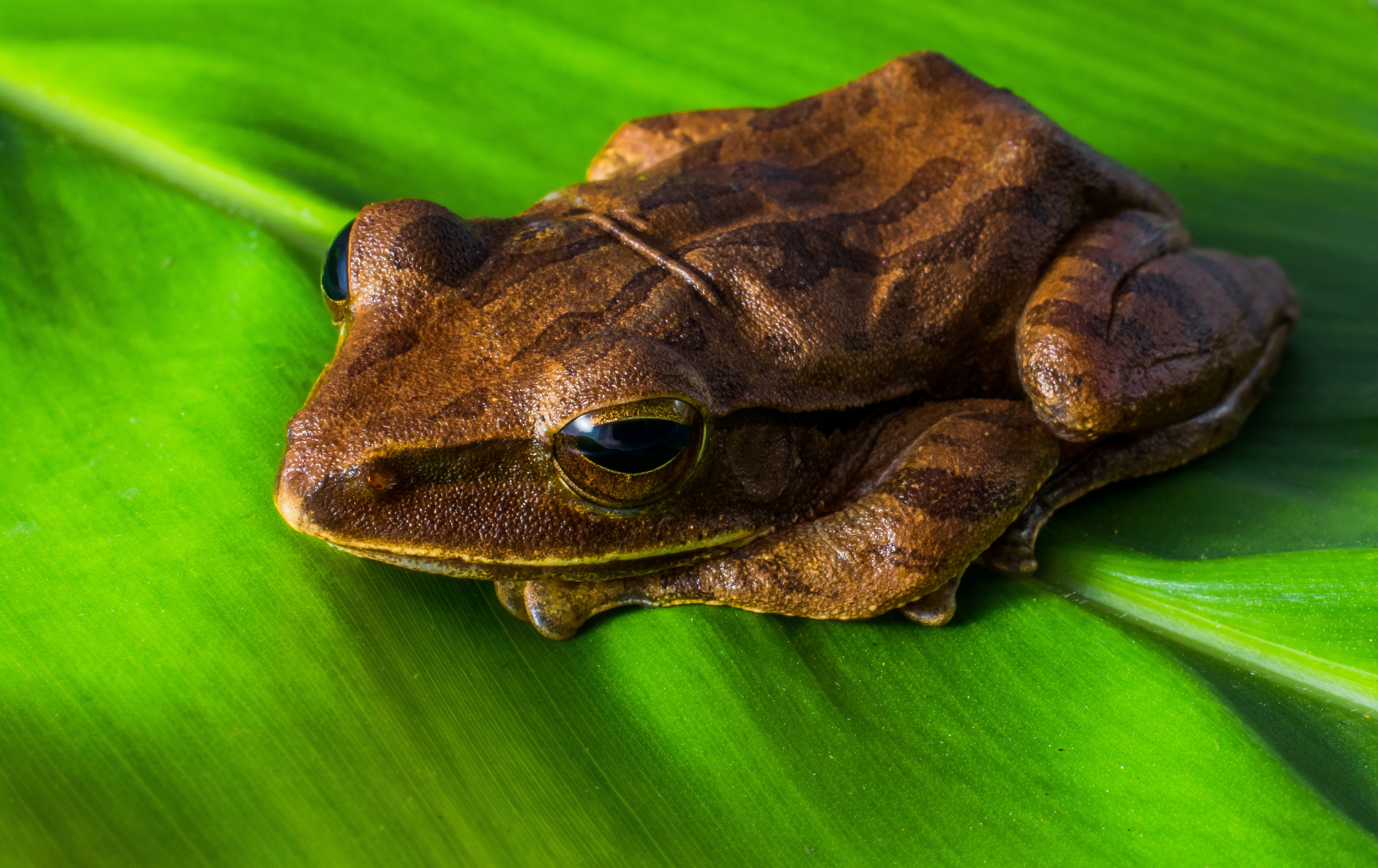 Brown Frog Free Stock Photo