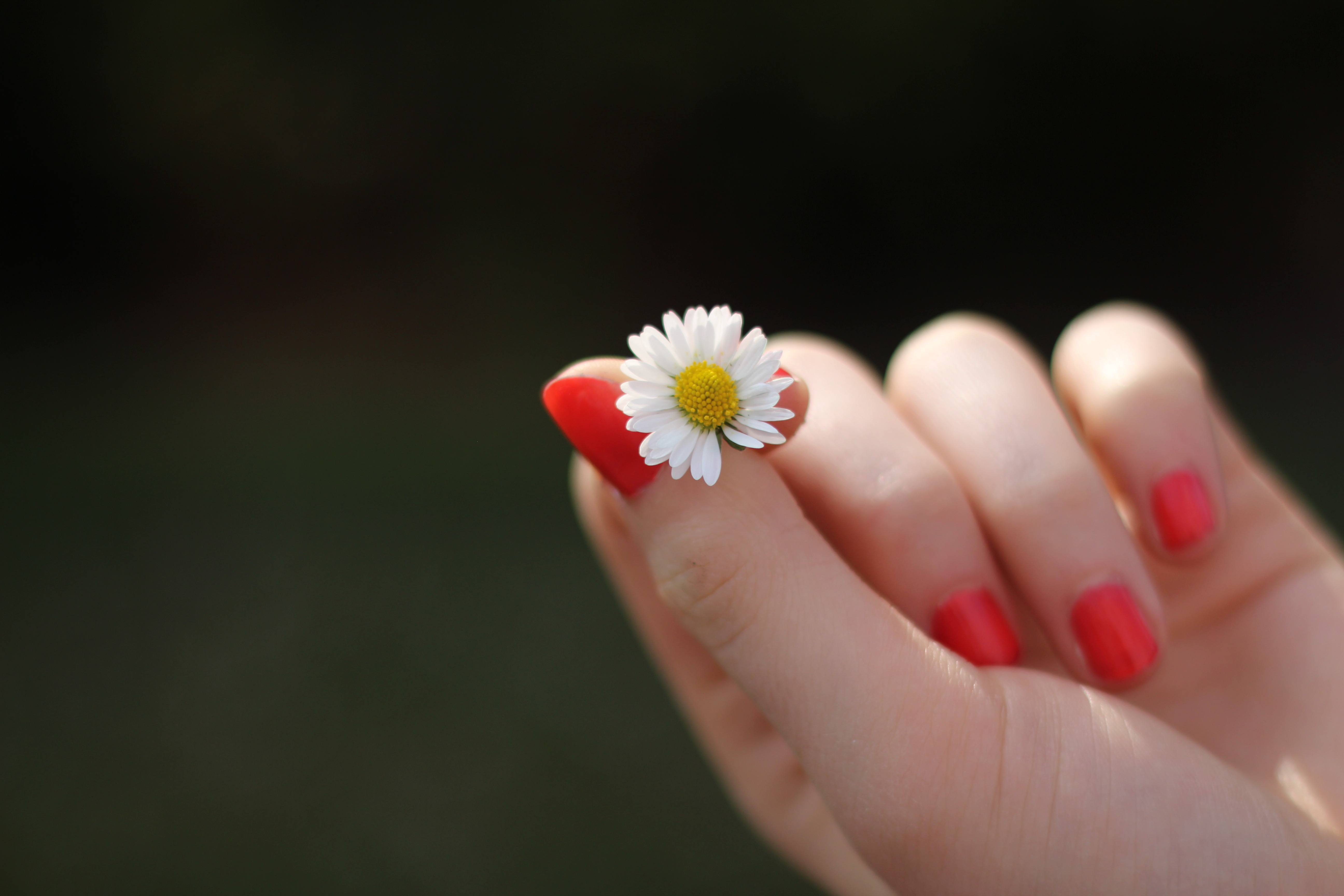 person with red manicure holding white petal flower free stock photo