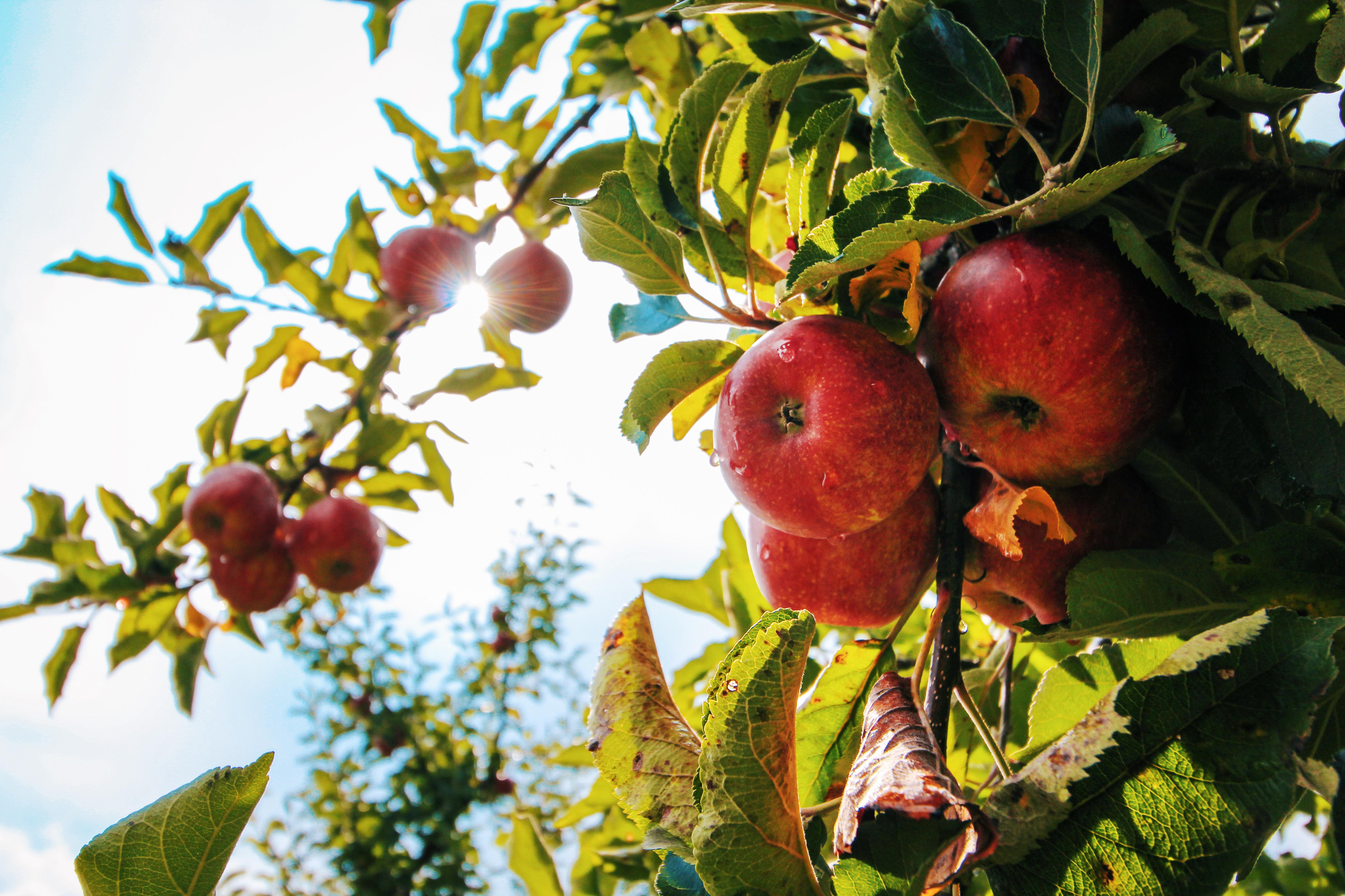 free stock photos of apple pexels