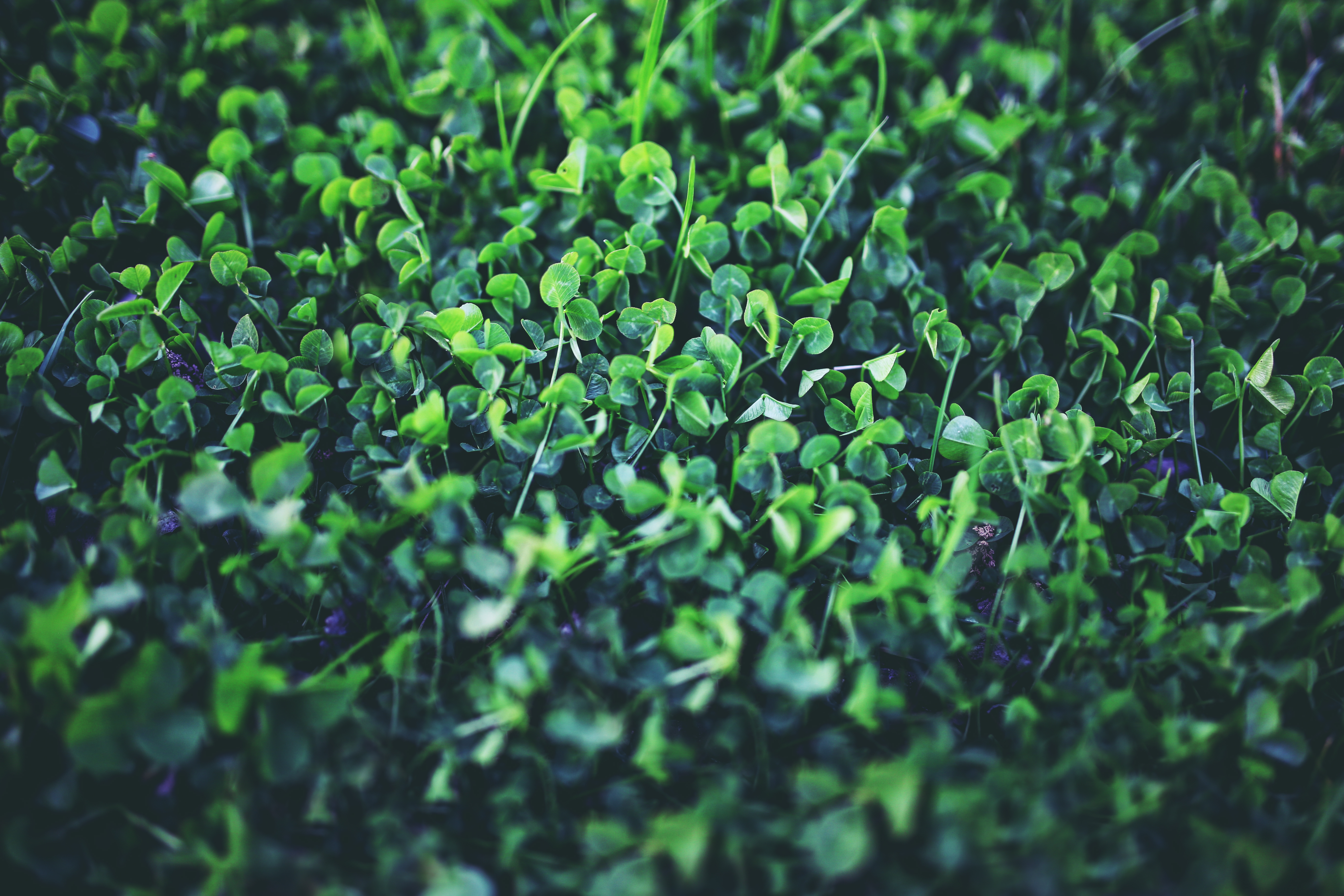 young clover free stock photo
