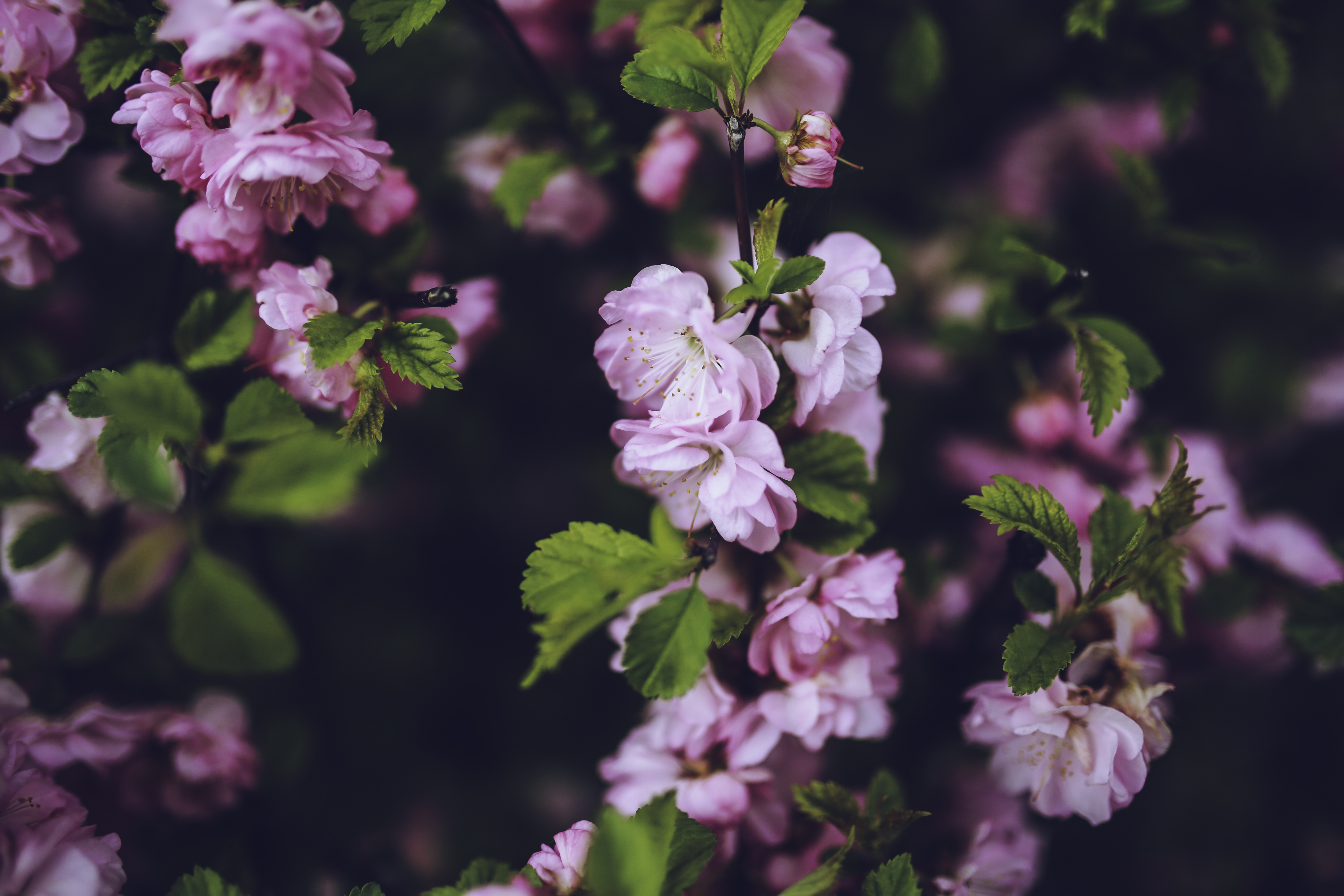 Pink flowers · Free Stock