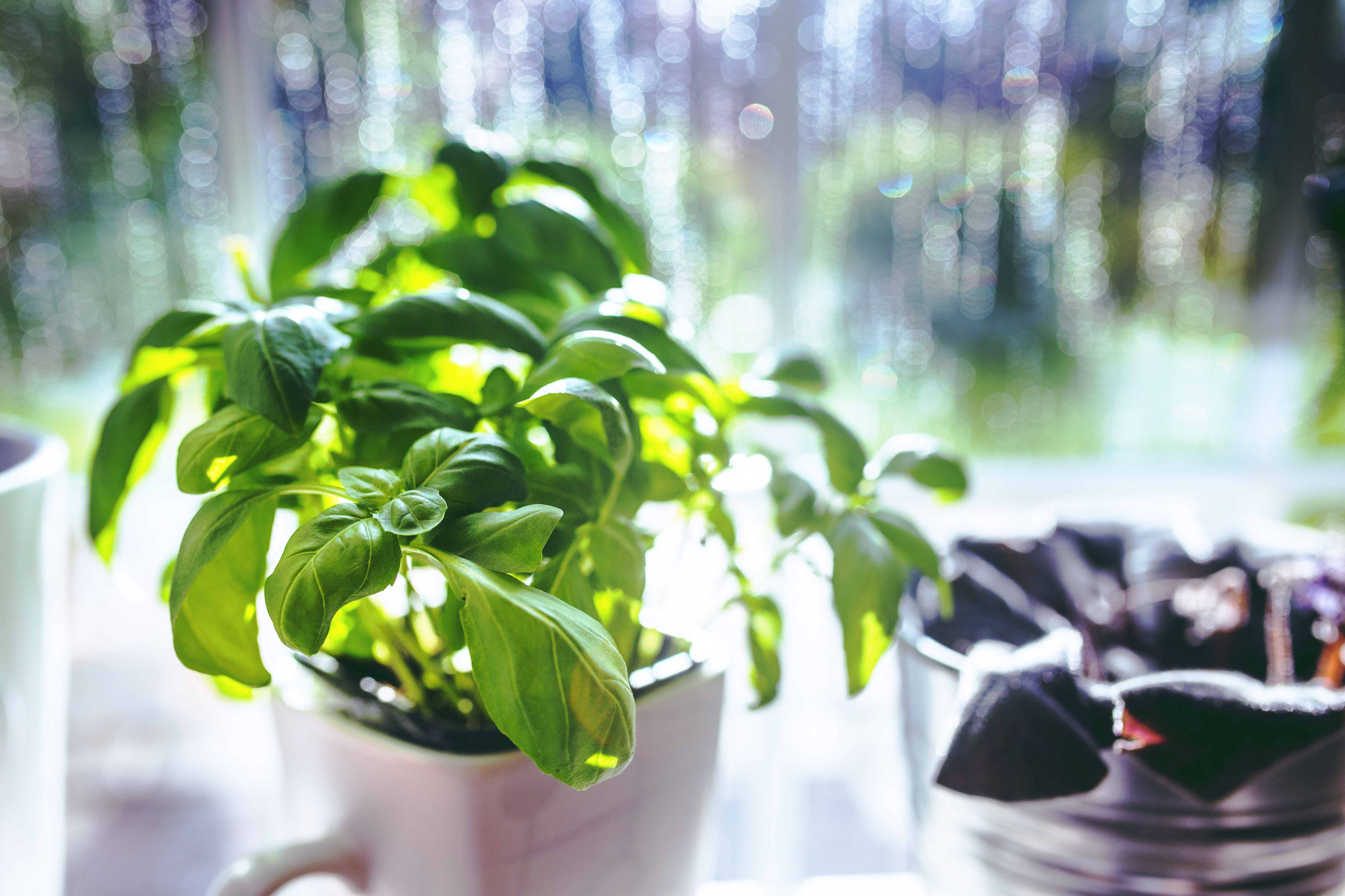 houseplants-basil-window-herbs