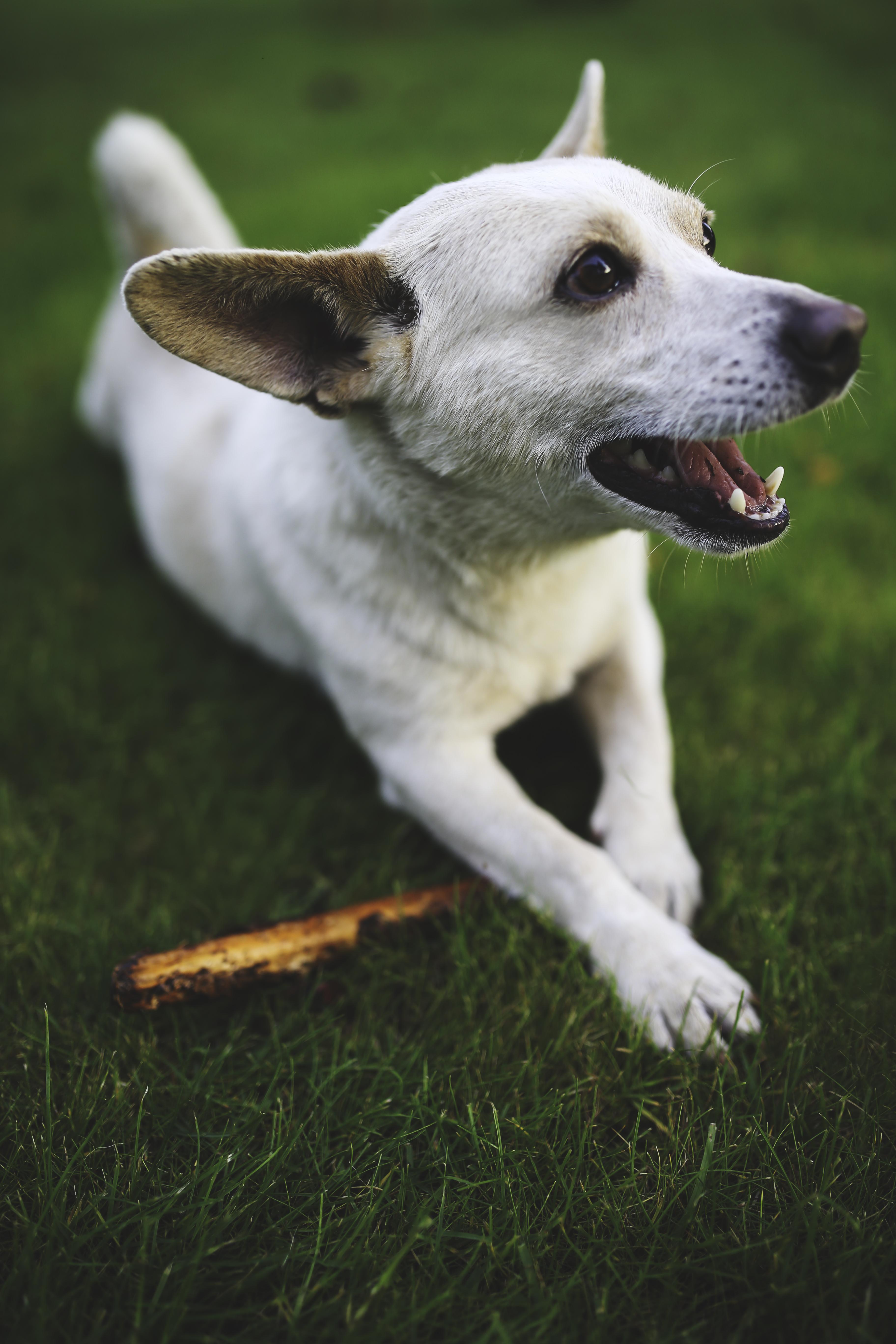 animal-dog-playing-grass.jpg (3648×5472)