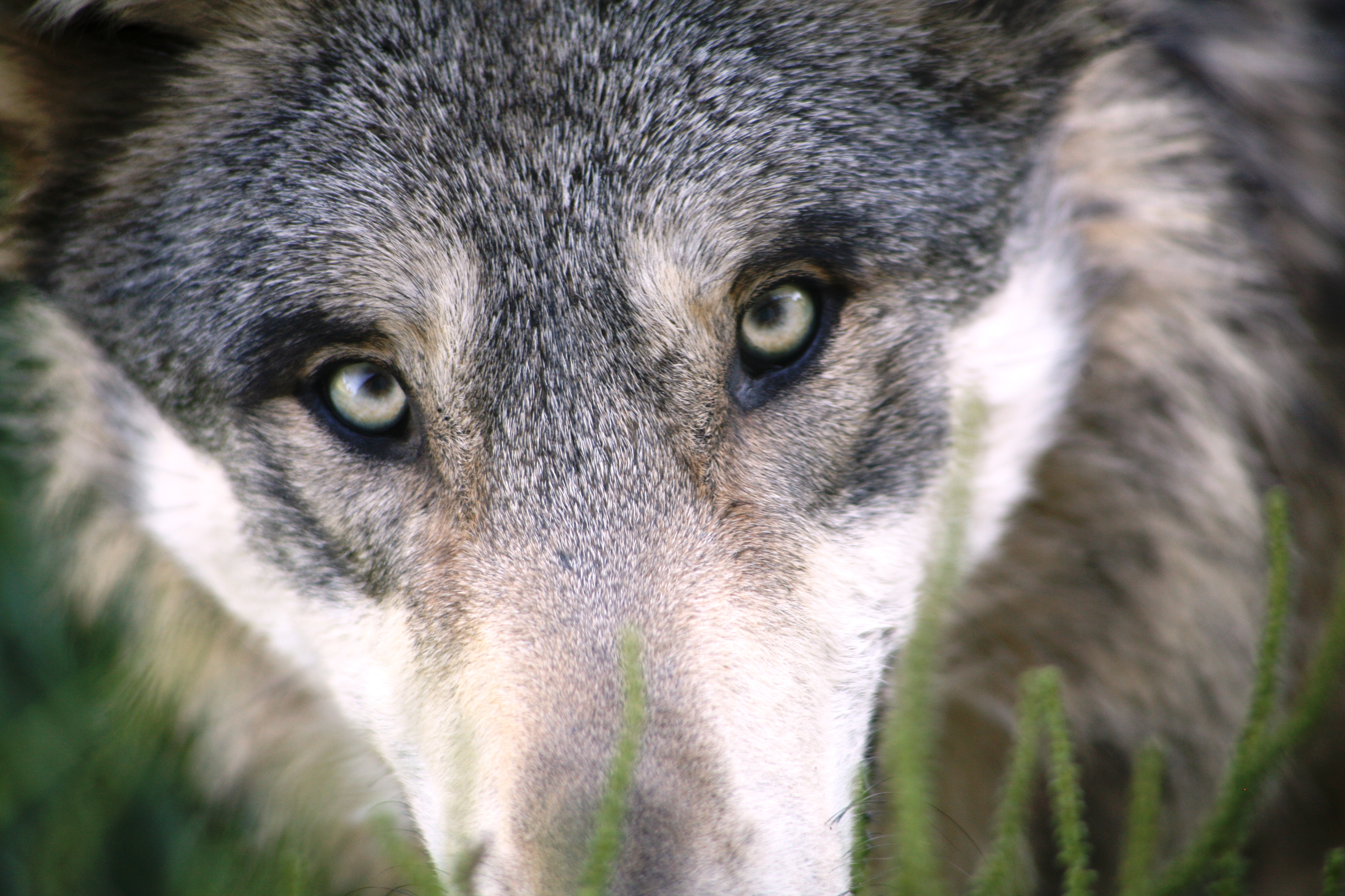 free wolf pictures