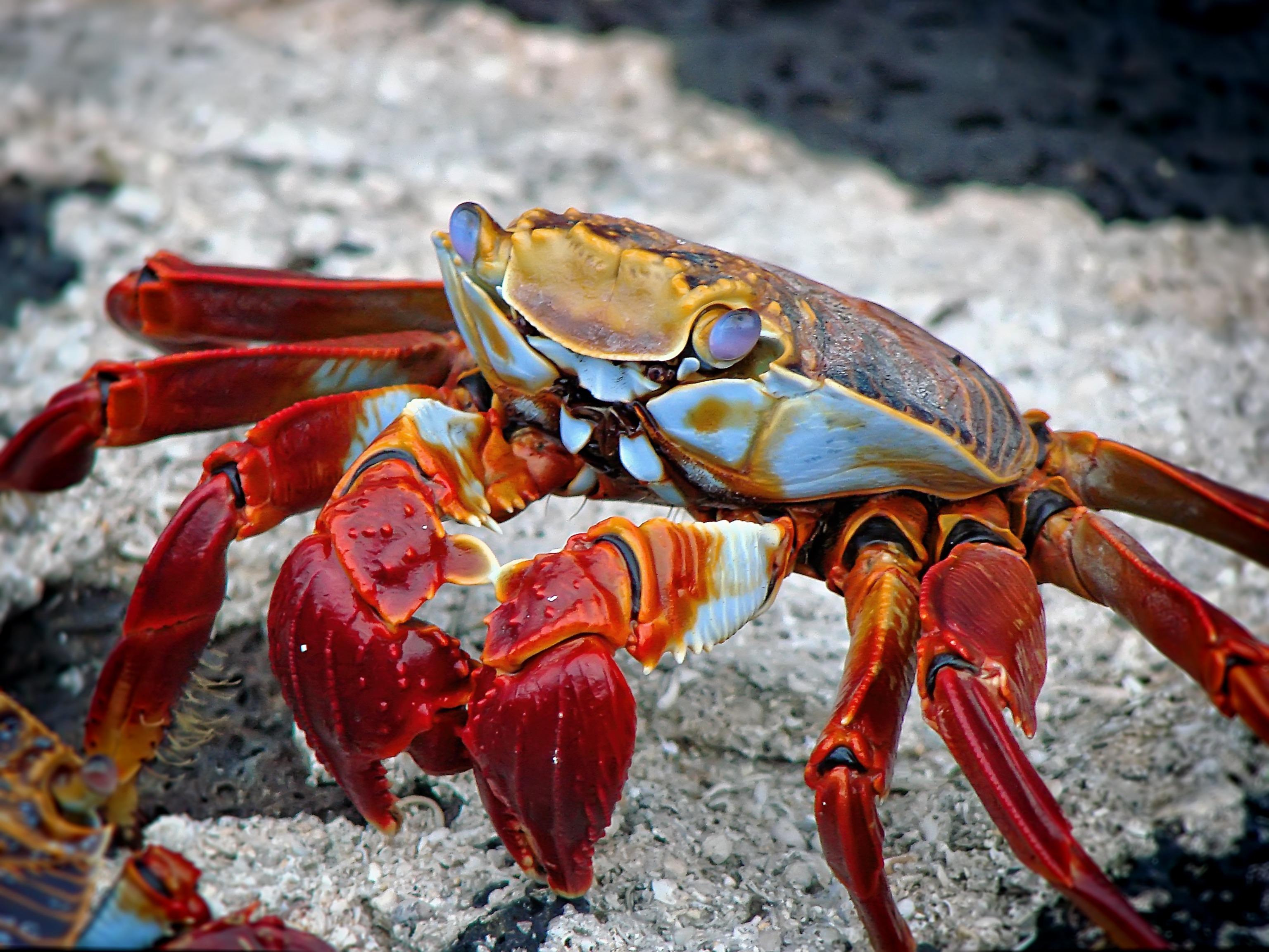 free stock photos of crab pexels