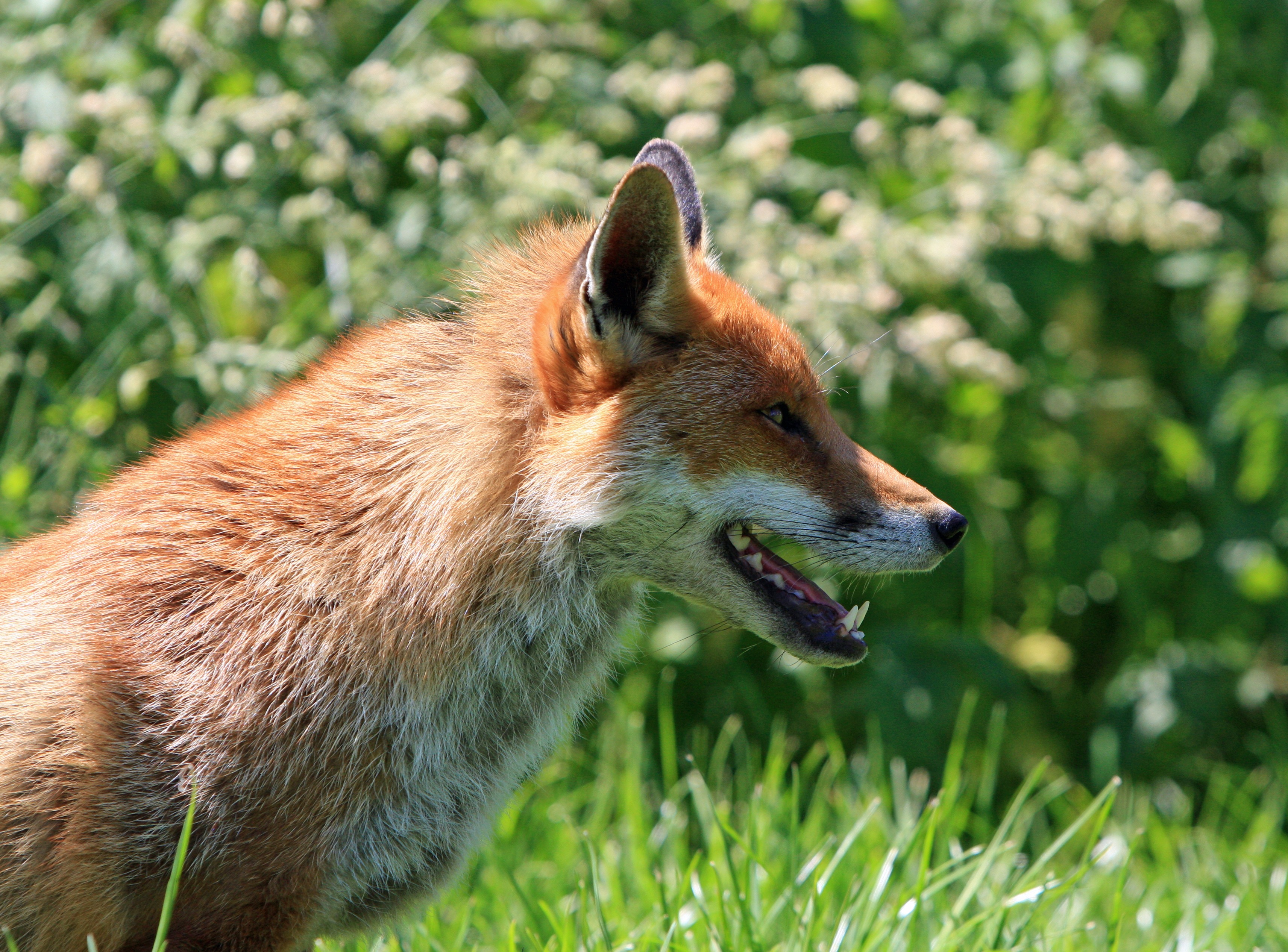 brown fox in green grass field during daytime free stock photo
