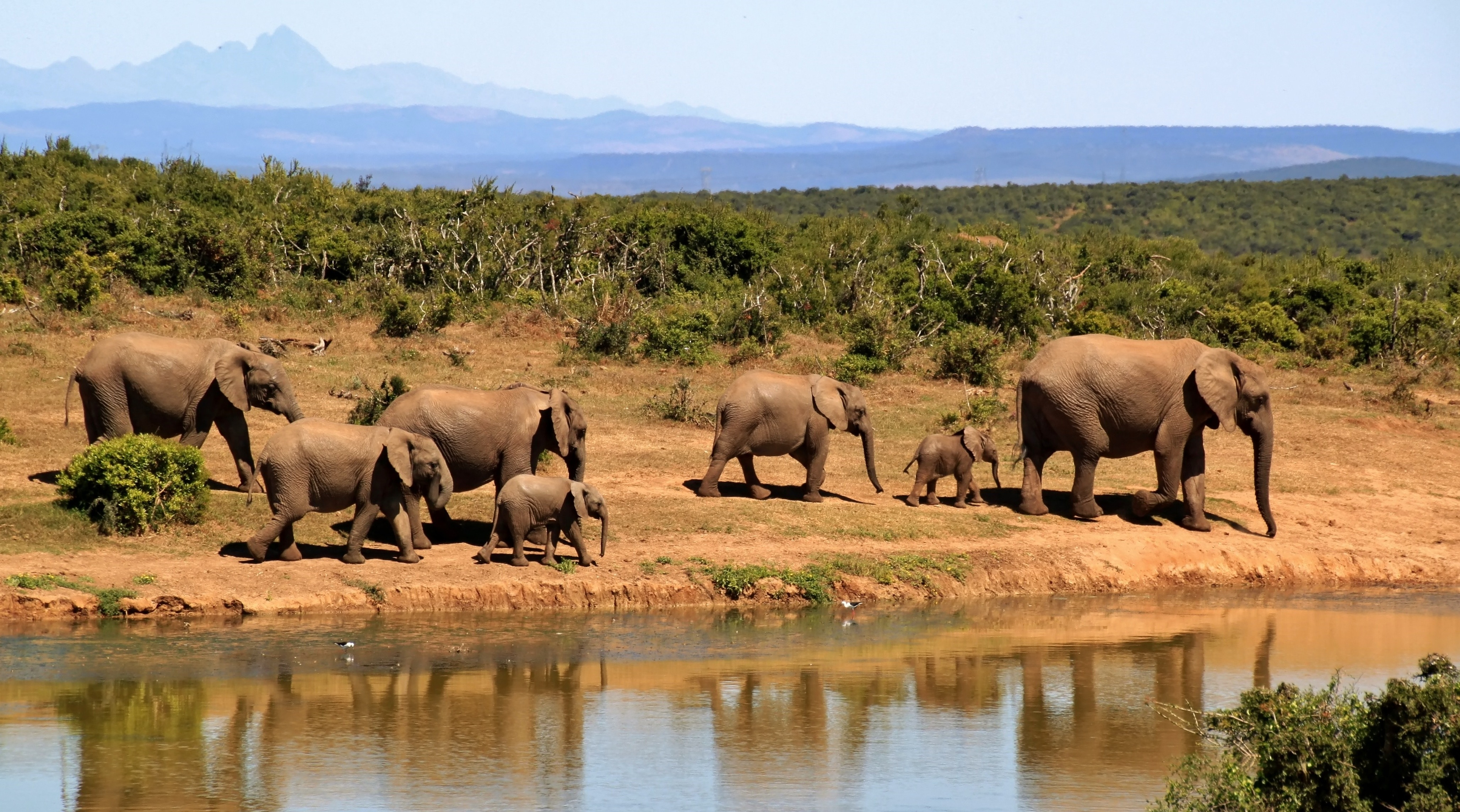 7 elephants walking beside body of water during daytime free