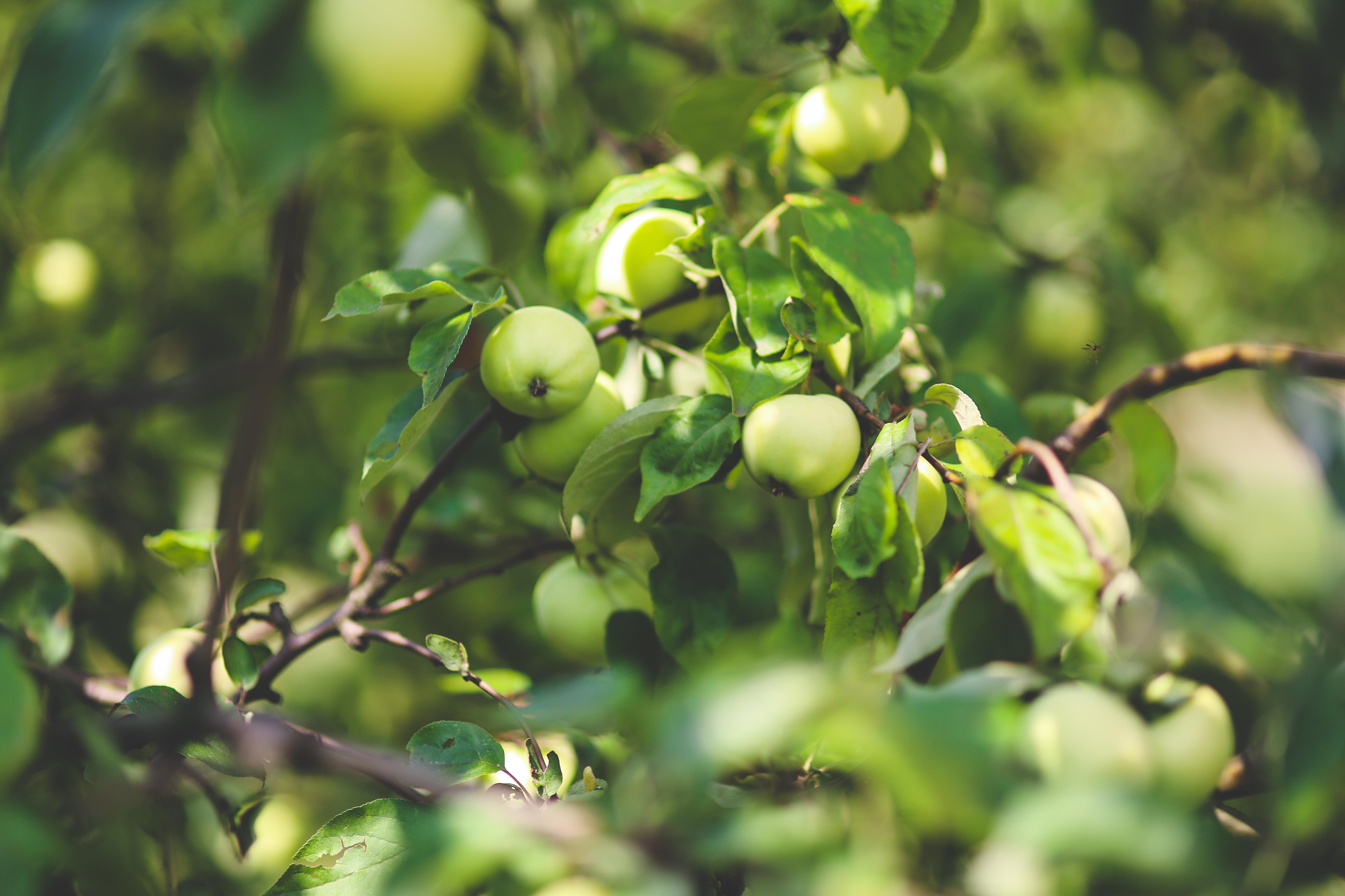 Green apple · Free Stock Photo