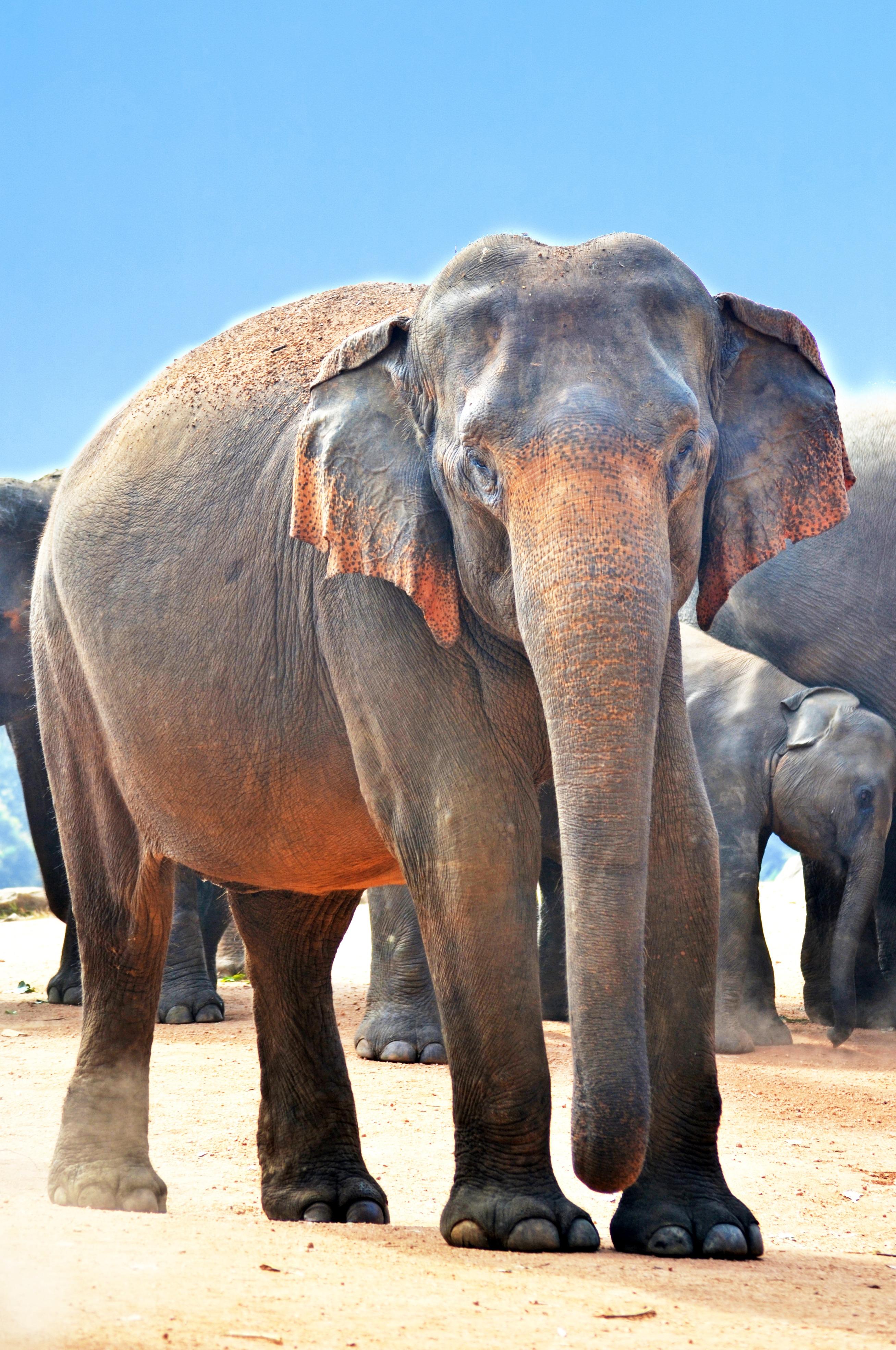 black elephant free stock photo