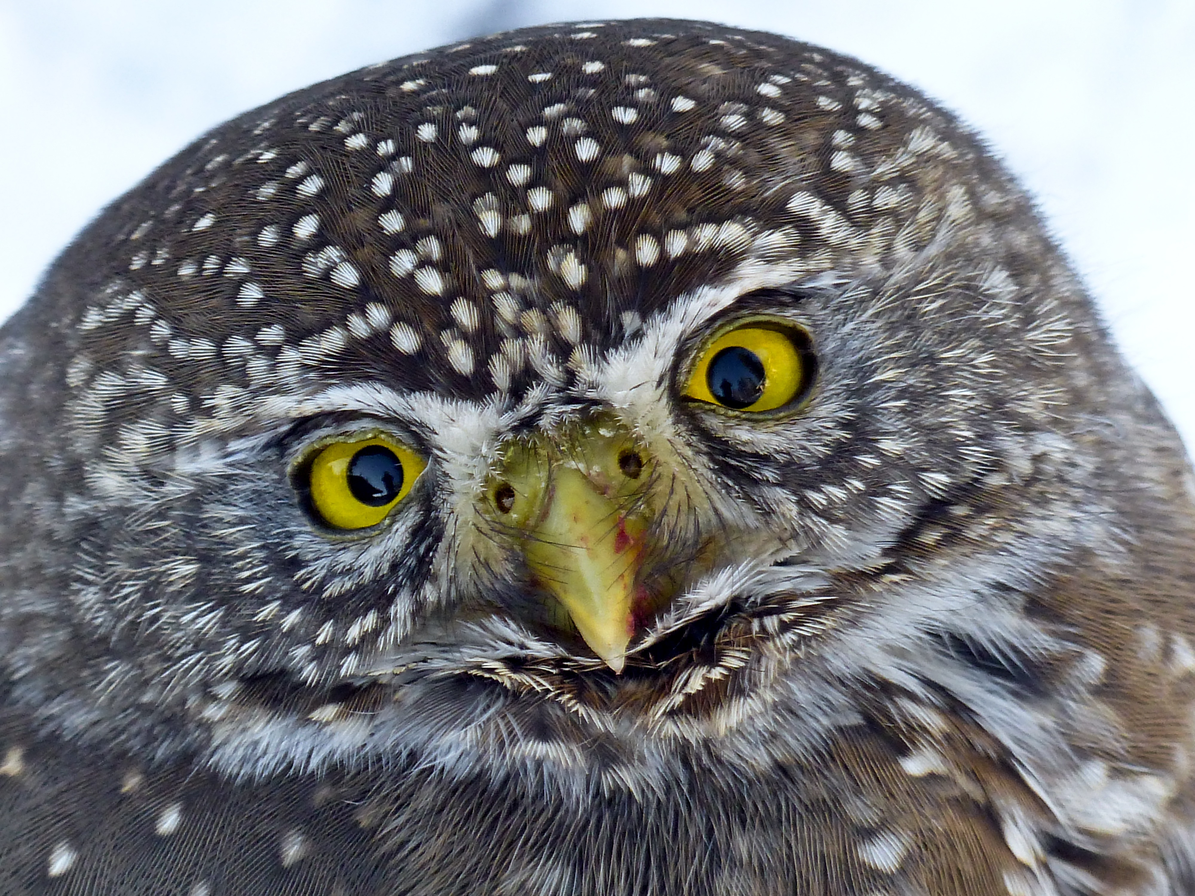 black and brown winter owl 183 free stock photo