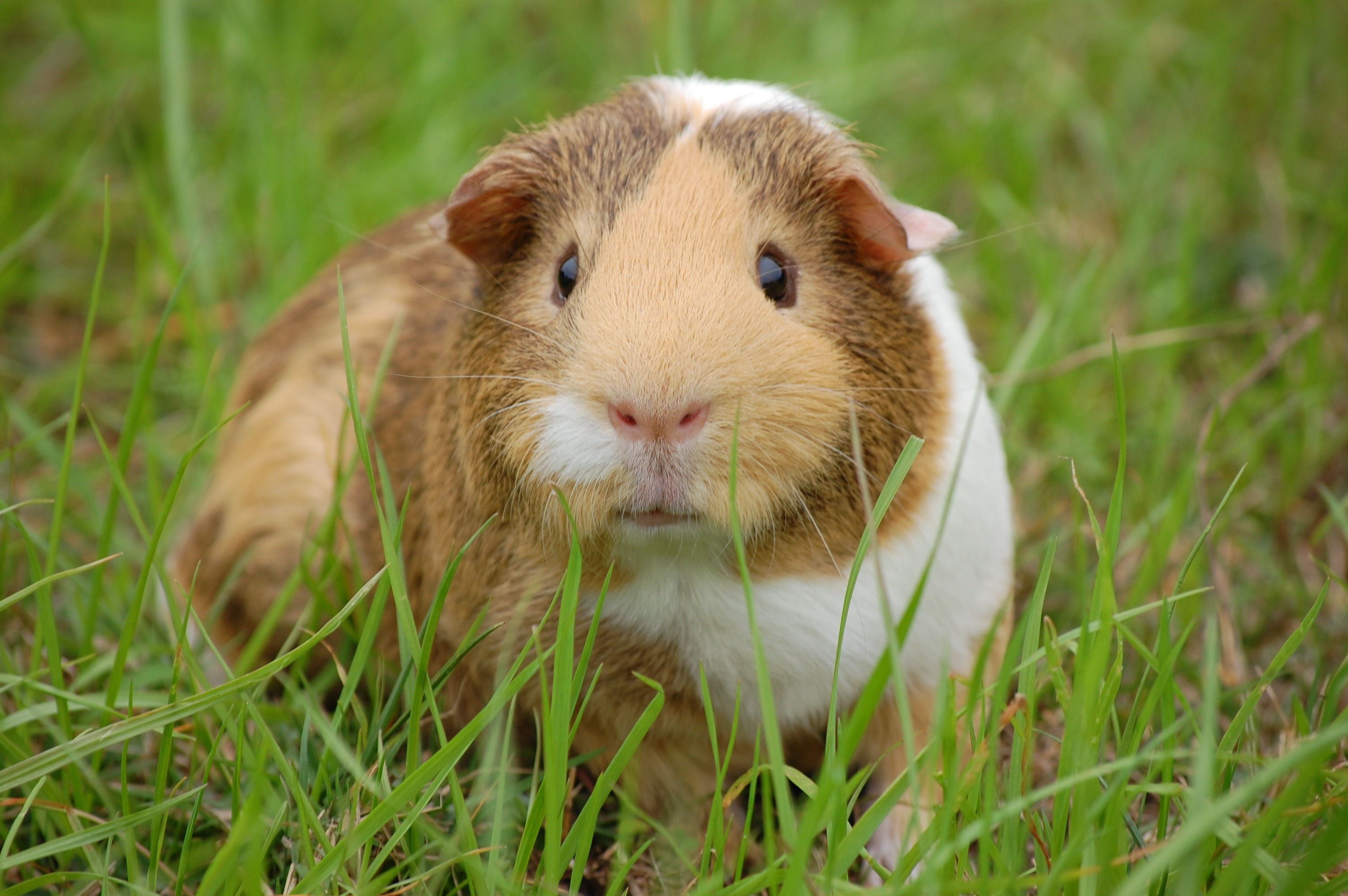 White and brown guinea pig on ground free stock photo for Free guinea pig stuff