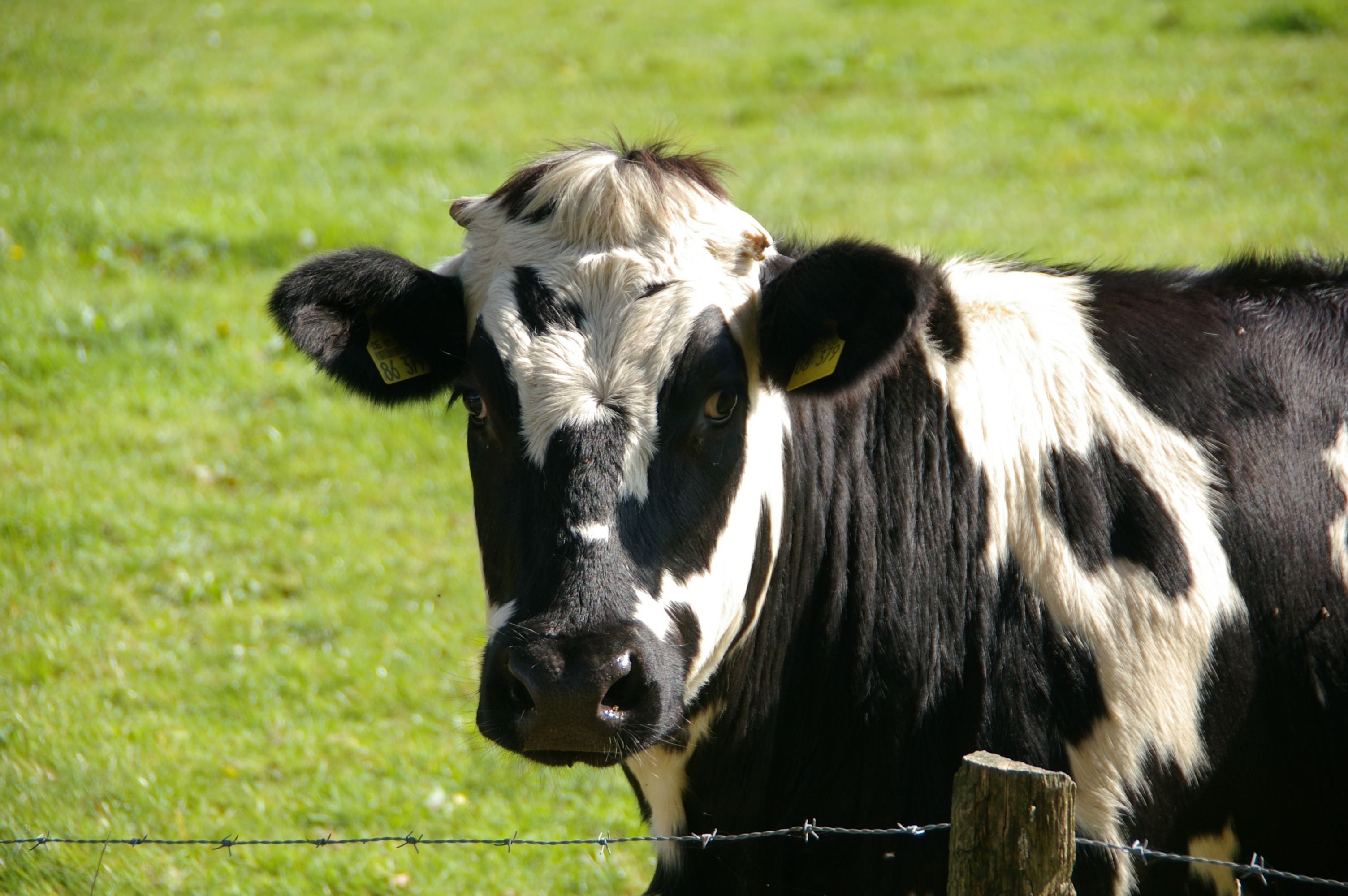 Cow Pictures Pexels Free Stock Photos