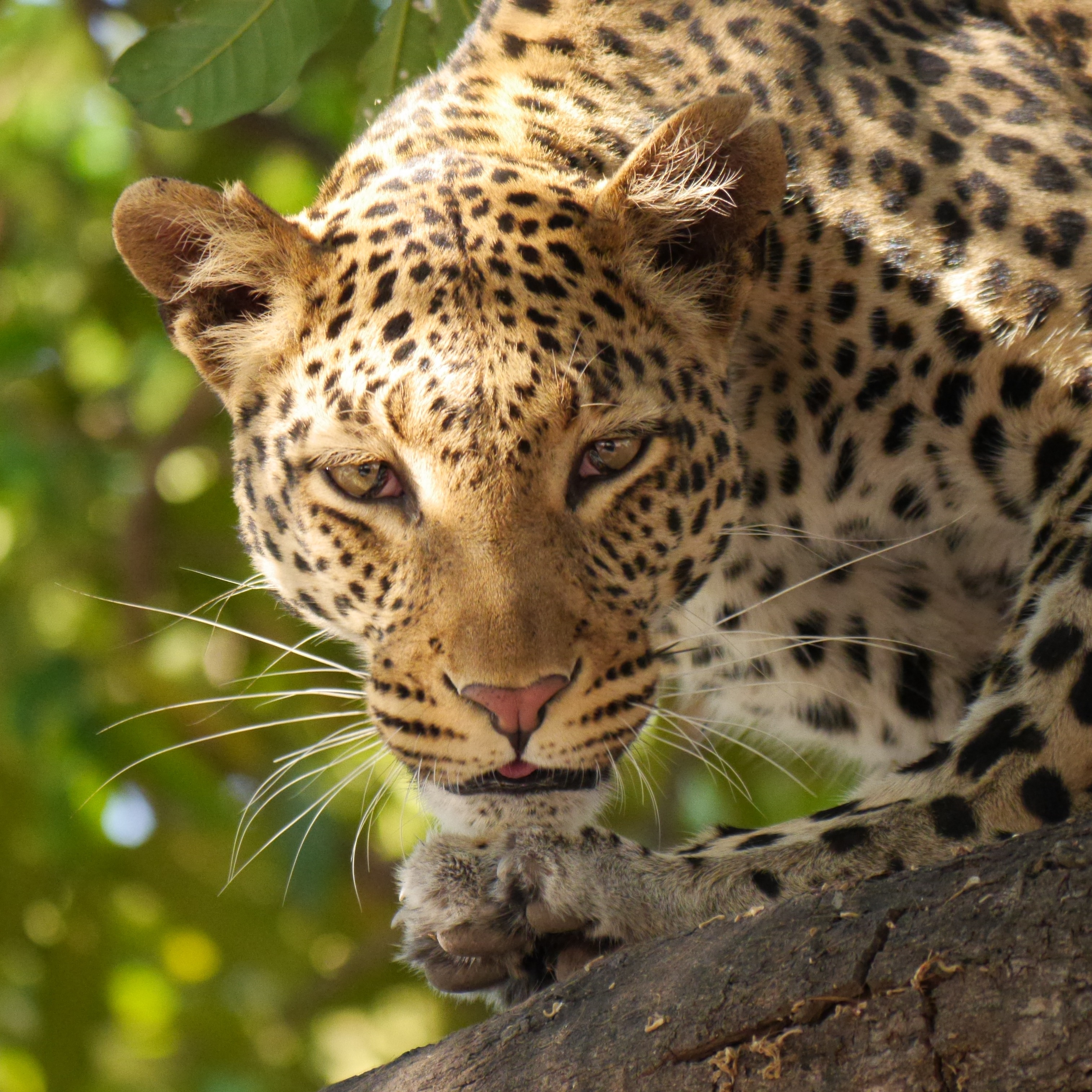 Leopard Photos Pexels Free Stock Photos