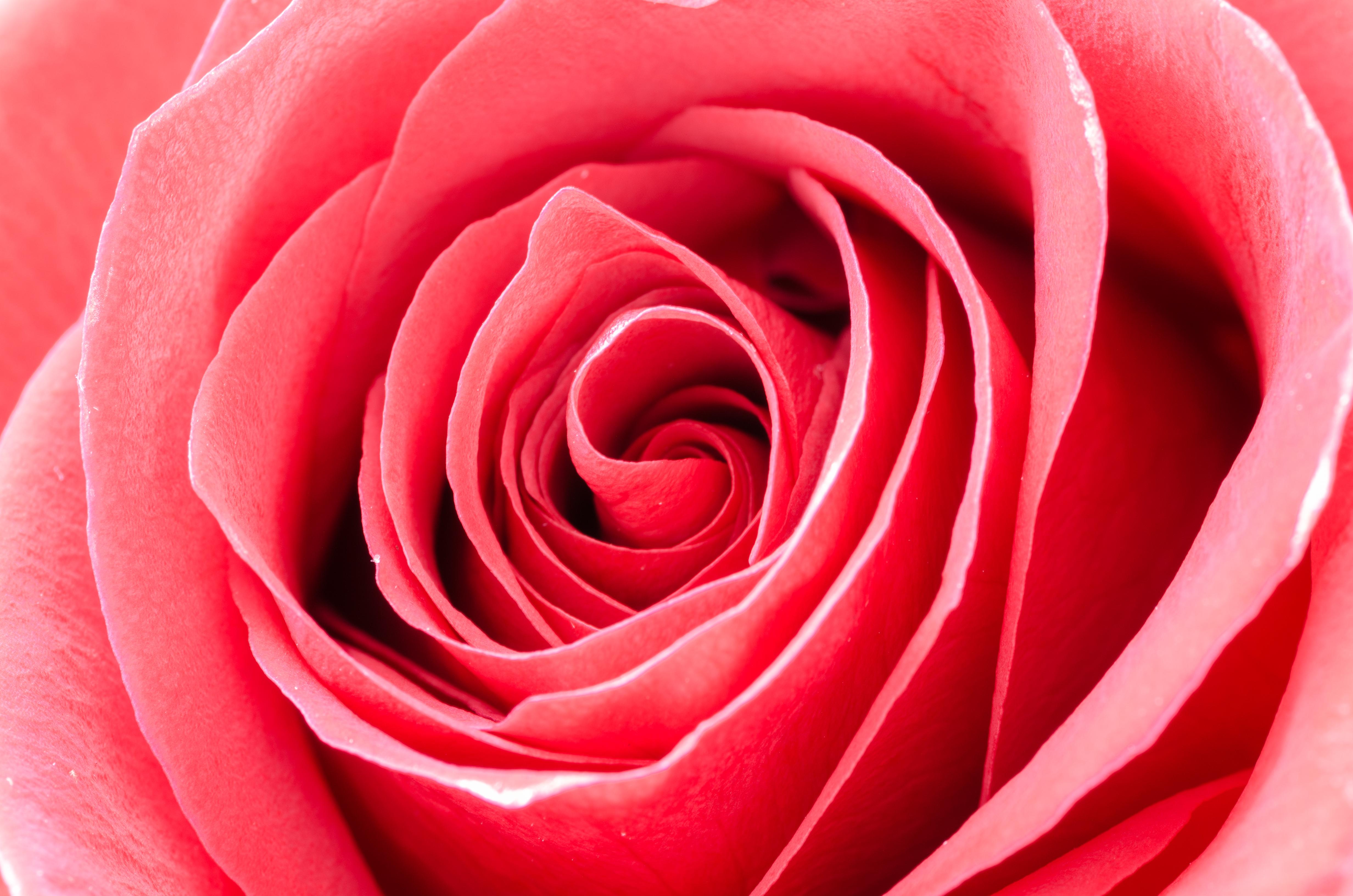 flower-rose-macro-nature-633856.jpeg (4928×3264)