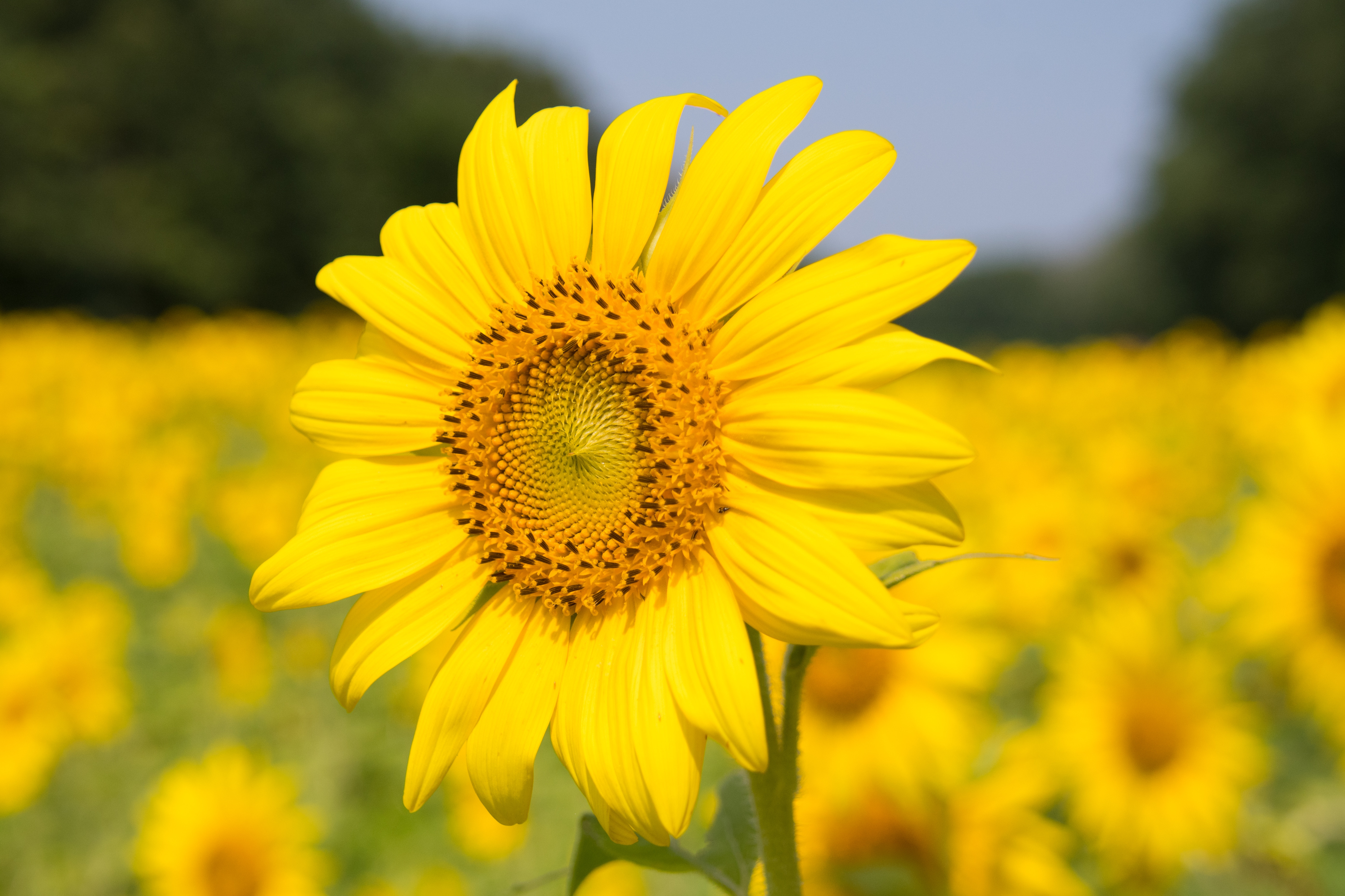 Sunflowers and Nudists