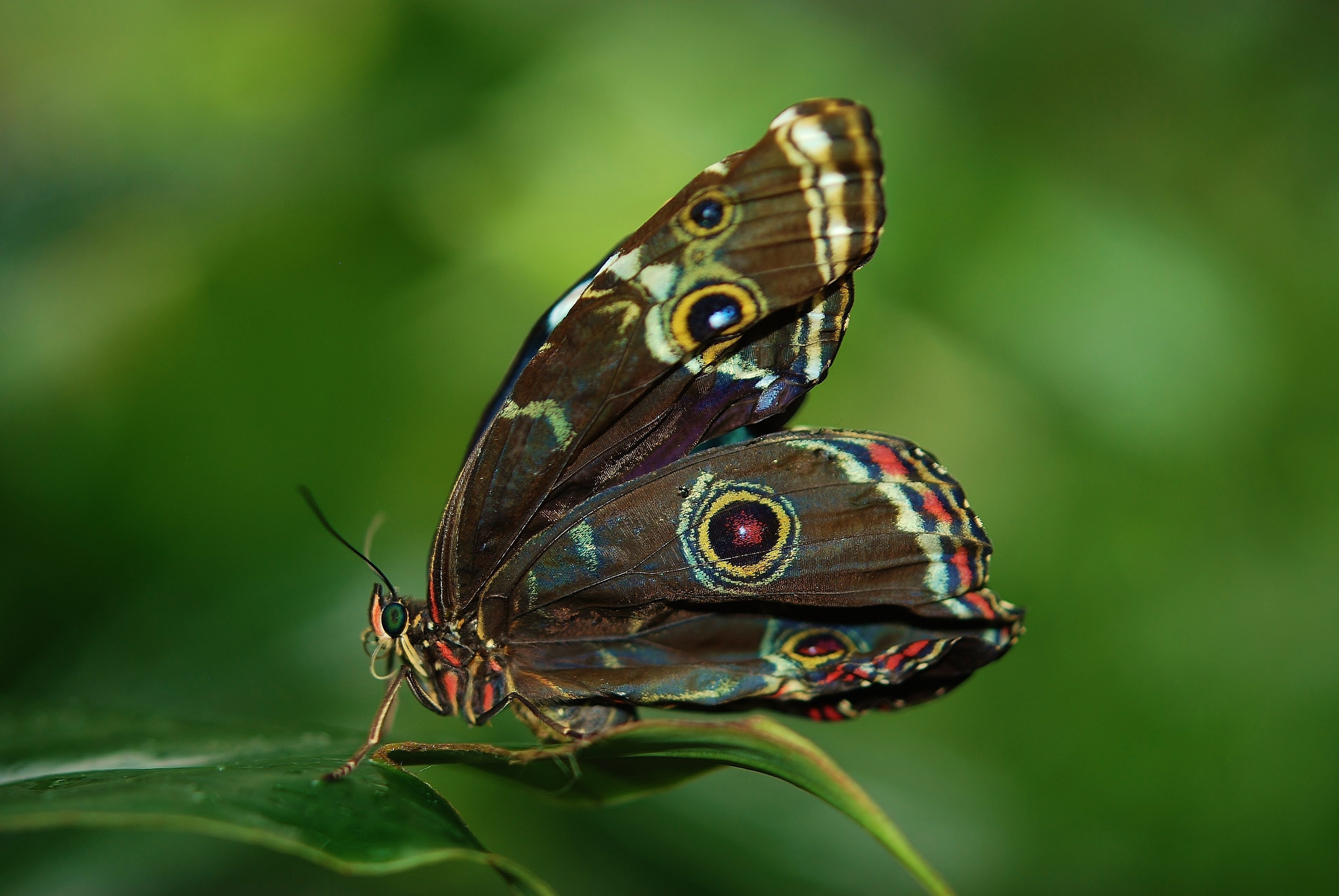 brown white and red butterfly on green leaf free stock photo