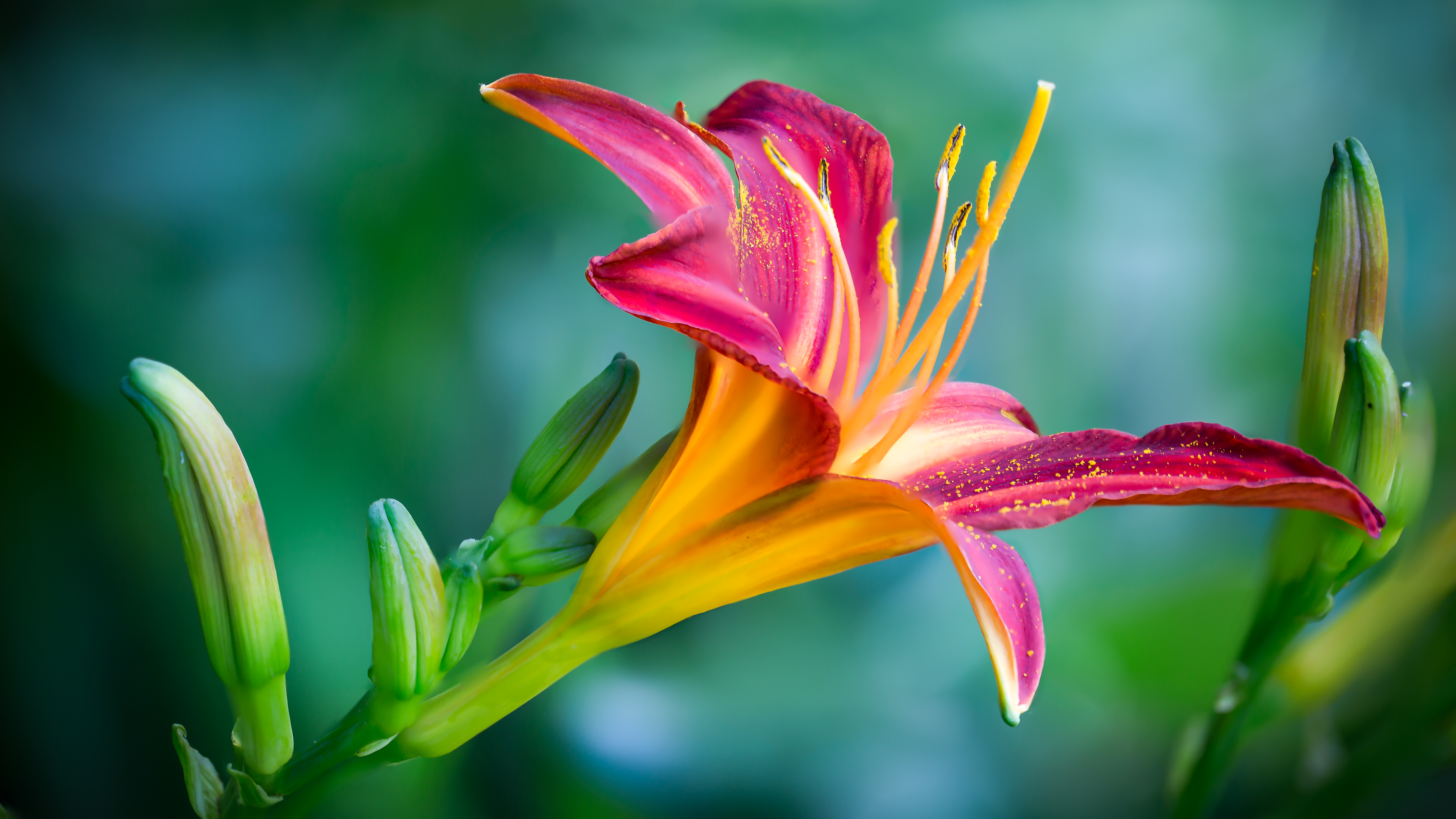 Beautiful pictures of lily flowers