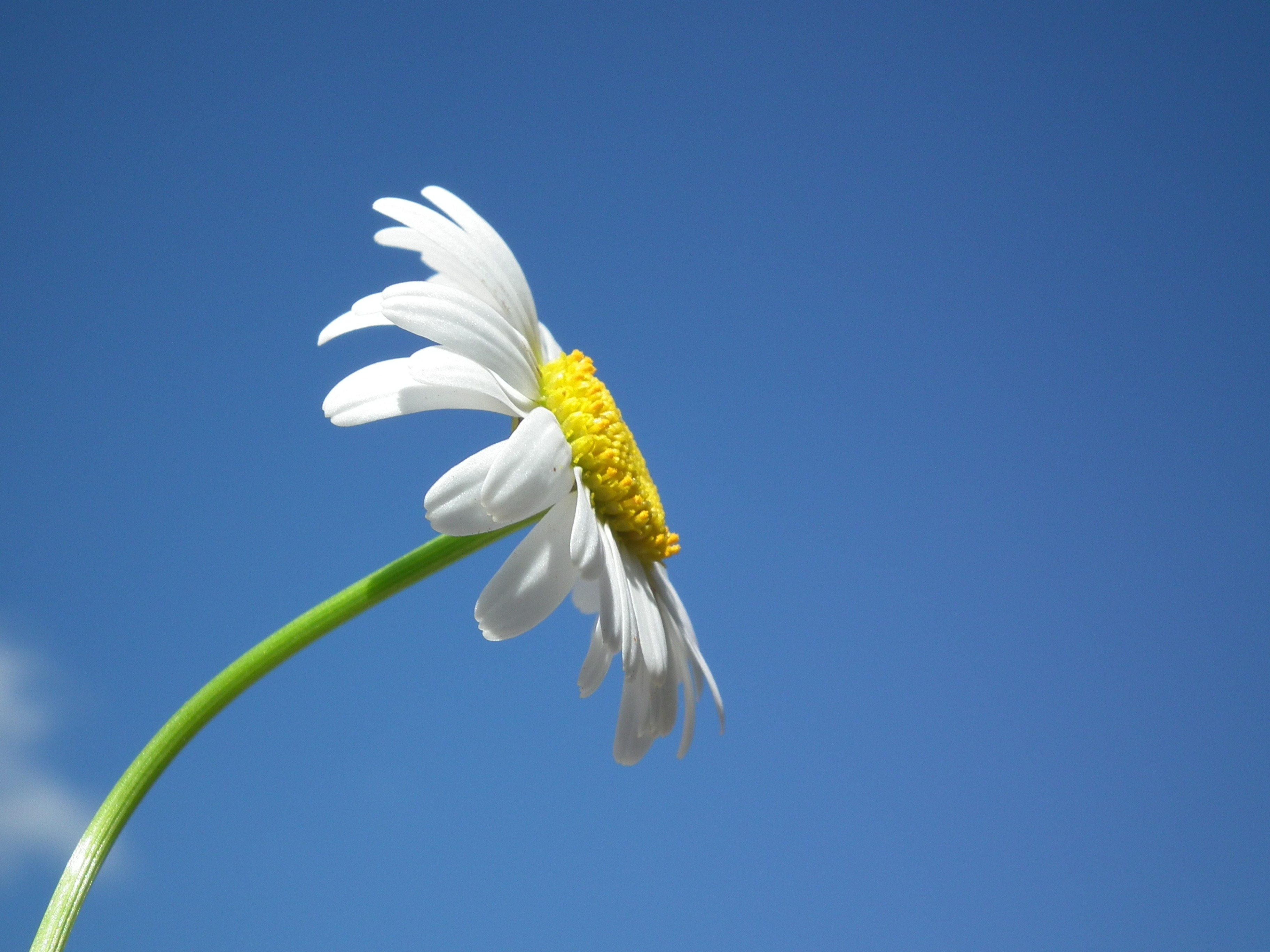 white daisy under blue and white cloudy sky free stock photo