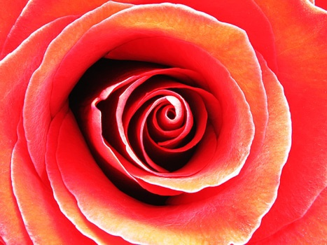 Red Rose in Macro Photography