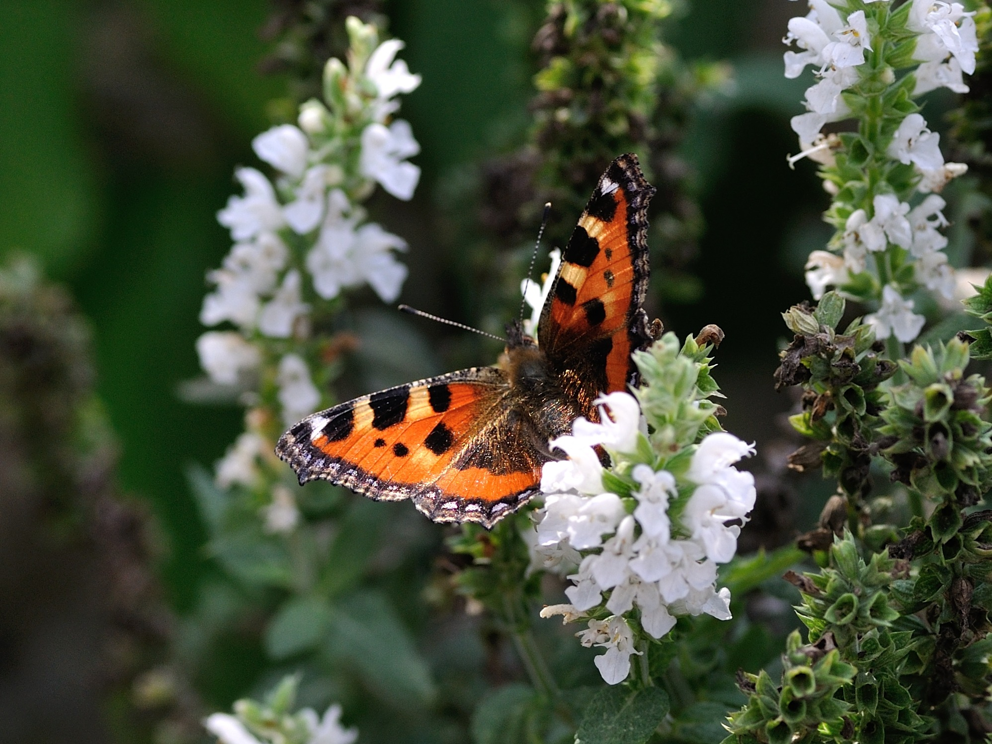 Orange Black And White Butterfly On White Petal Flower Free Stock Photo
