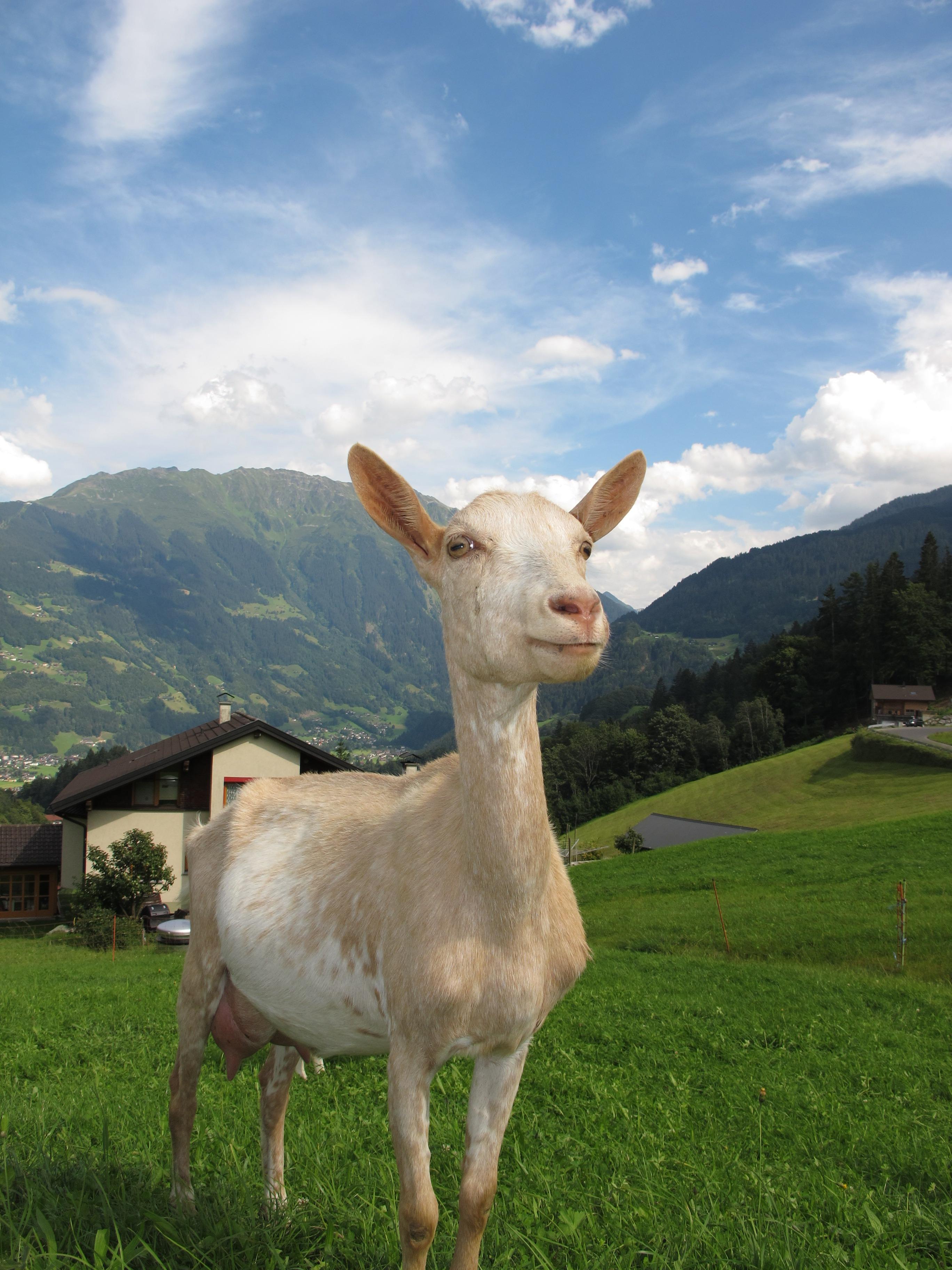 whit and beige goat  u00b7 free stock photo