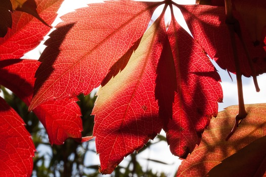 Red and Orange Autumn Leaves Close Up Photogrpah