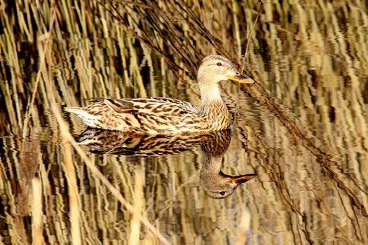 Brown and White Mullard Duck