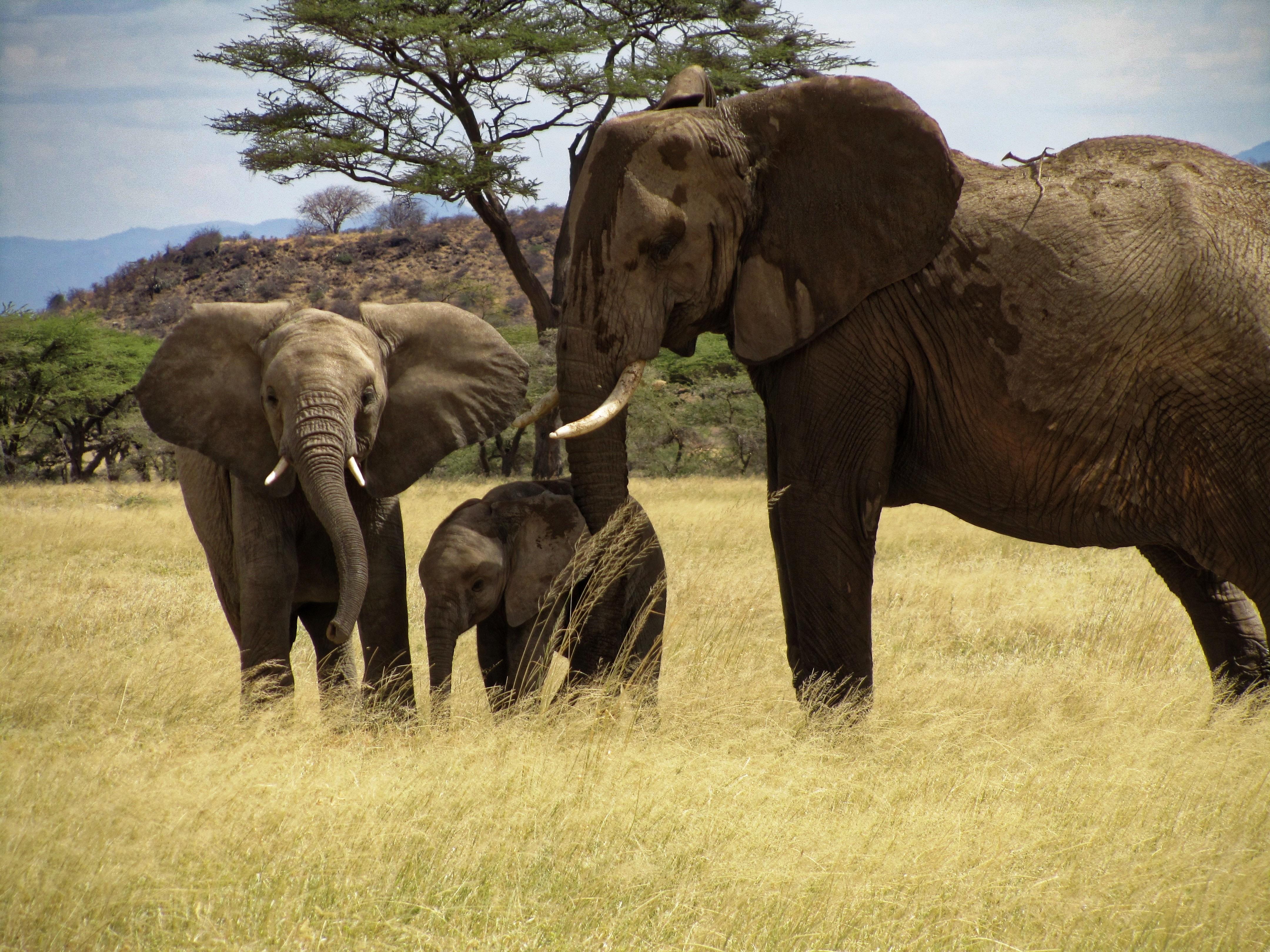free stock photo of elephant family