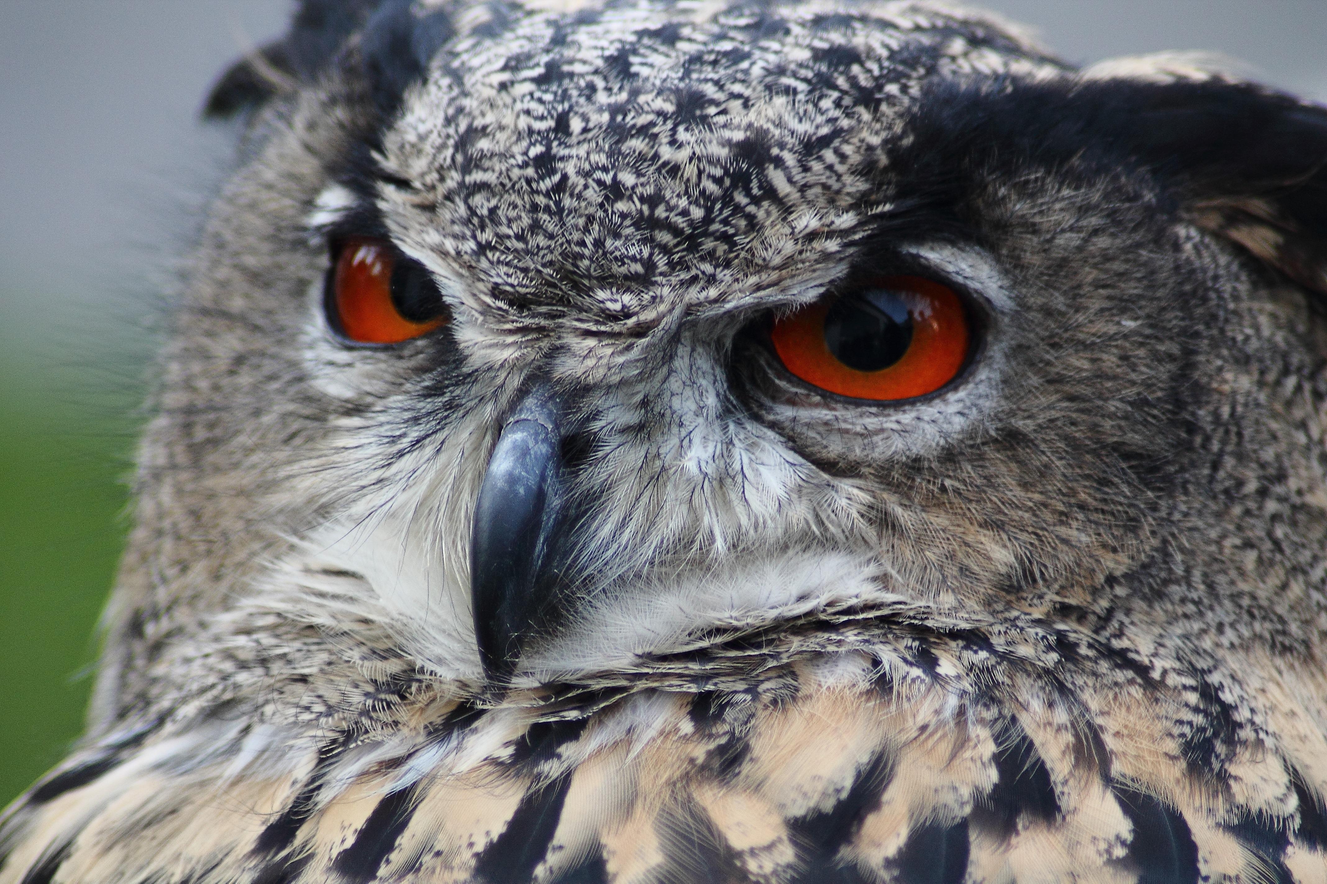 Grey Owl · Free Stock Photo