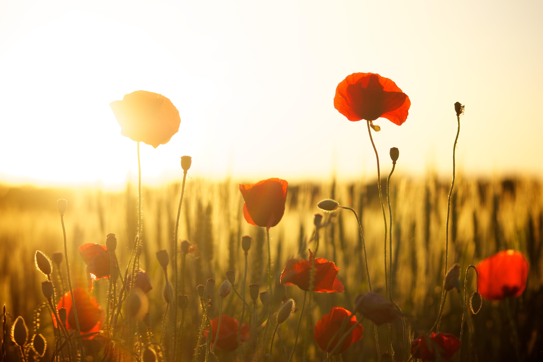 sunset-poppy-backlight-66274.jpeg (6000×4000)