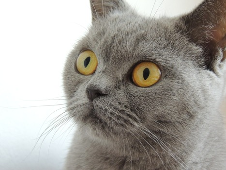 Close Up Photography of Russian Blue Cat